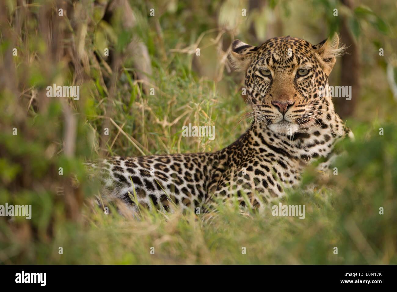Leopard le repos, la Mara, Masa Mara, Kenya, Afrique (Panthera pardus) Banque D'Images