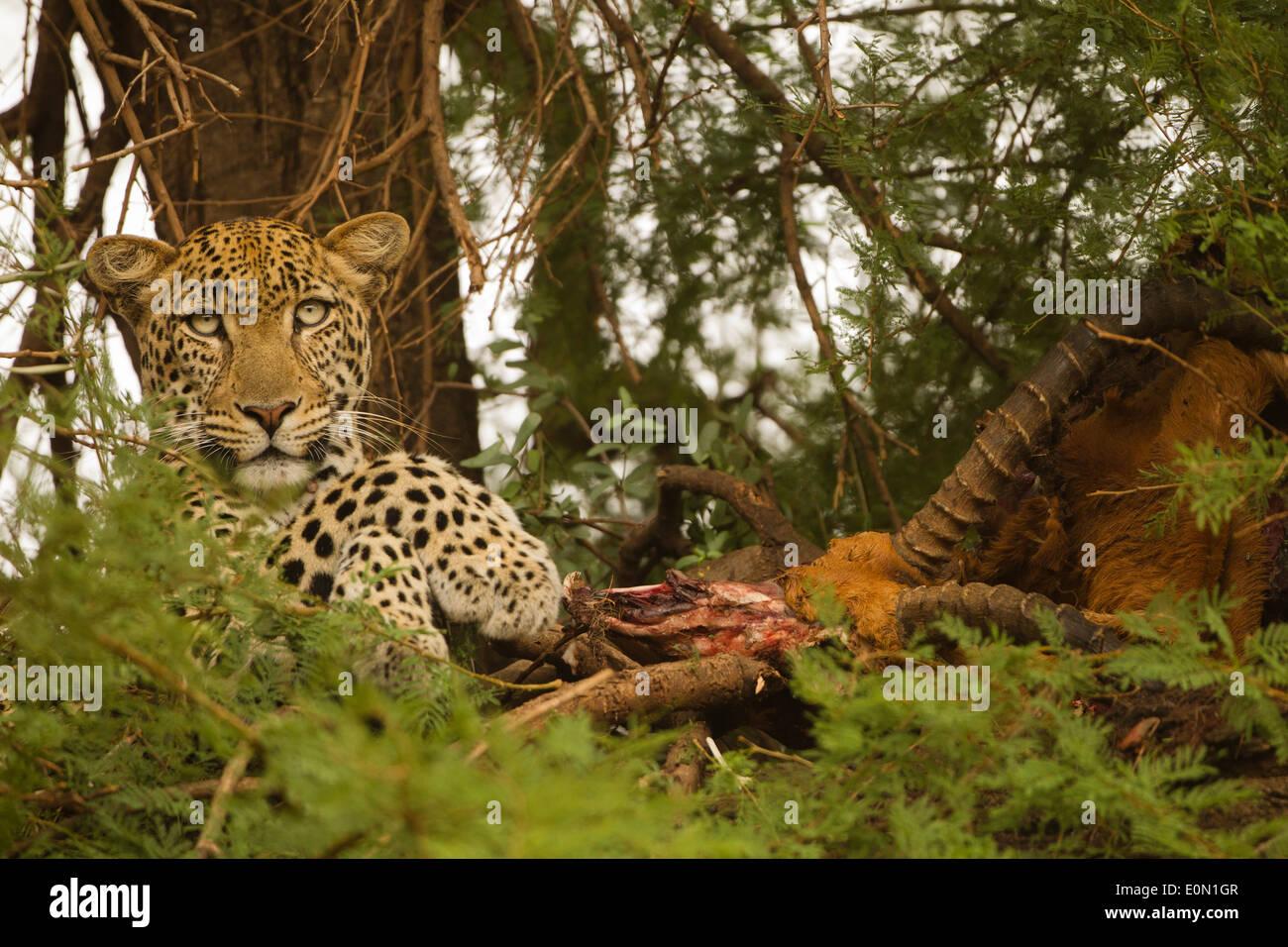 Leopard africaine dans l'arbre avec kill, Samburu Game Reserve, Kenya, Africa (Panthera pardus) Banque D'Images