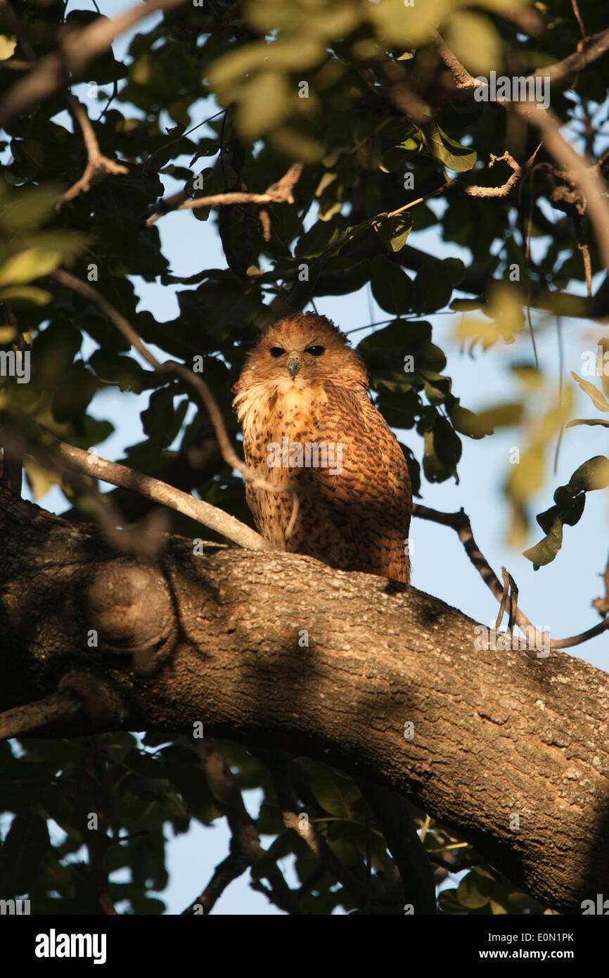 Pêche du PEL dans Owl tree, Moremi Camp, Dead Tree Island, Scotopelia peli (Delta) Banque D'Images