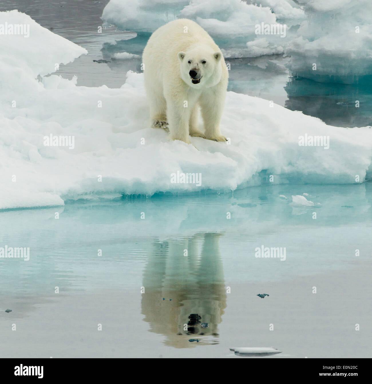 Alerte à l'ours polaire, Svalbard, Norvège (Ursus maritimus) Banque D'Images