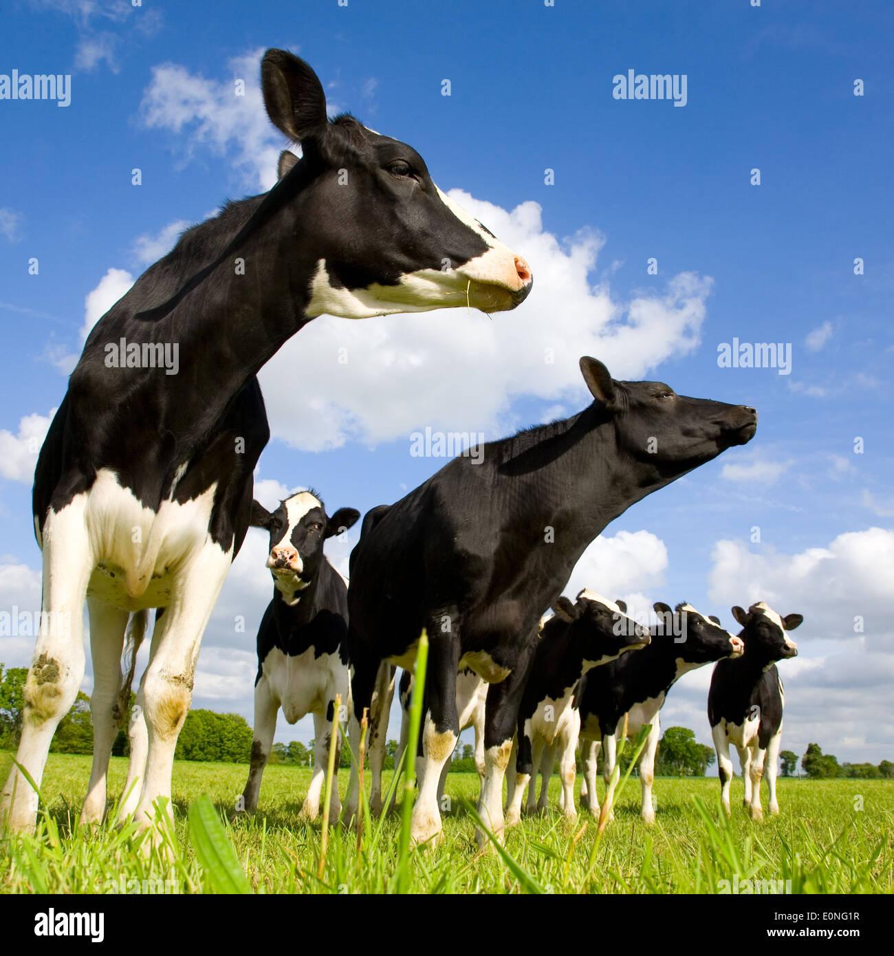 Les vaches Holstein sur le pré Photo Stock