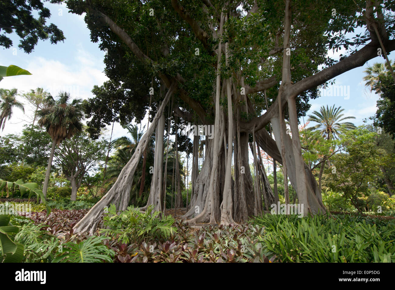 Ficus macrophylla, Botanical Gardens, Puerto de la Cruz, l'île de Tenerife, Canaries, Espagne, Europe Banque D'Images