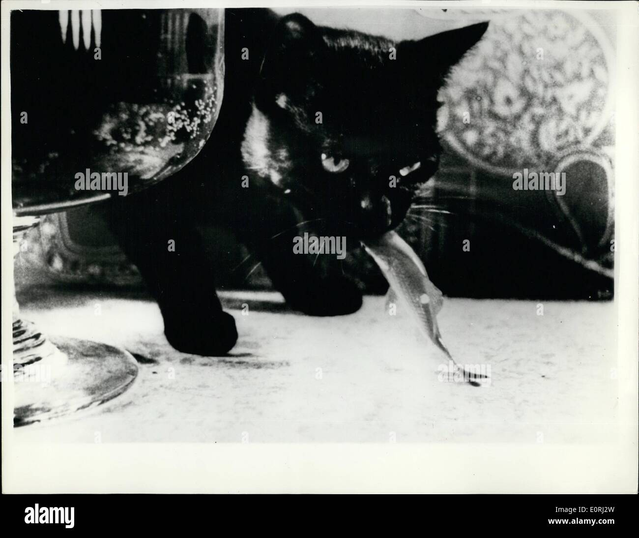 11 novembre 1959 - scène du nouveau film documentaire: ''Le poisson d'Or'' Chat et Poisson Rouge crée le suspens.: Bien qu'il n'y a pas de dialogue - le nouveau film documentaire ''Le poisson d'Or'' indiqué dans le West End de Londres est sensationnel. Je dispose d'un chat de gouttière - un canari et un poisson rouge - et dure 24 minutes. Garçon va à l'école et chat est laissé à la maison - il joue avec le secteur de l'agriculture - et le poisson rouge Le suspense est construit par le garçon à la maison de l'école - et le cay jouant avec l'oiseau et l'hôtellerie Banque D'Images