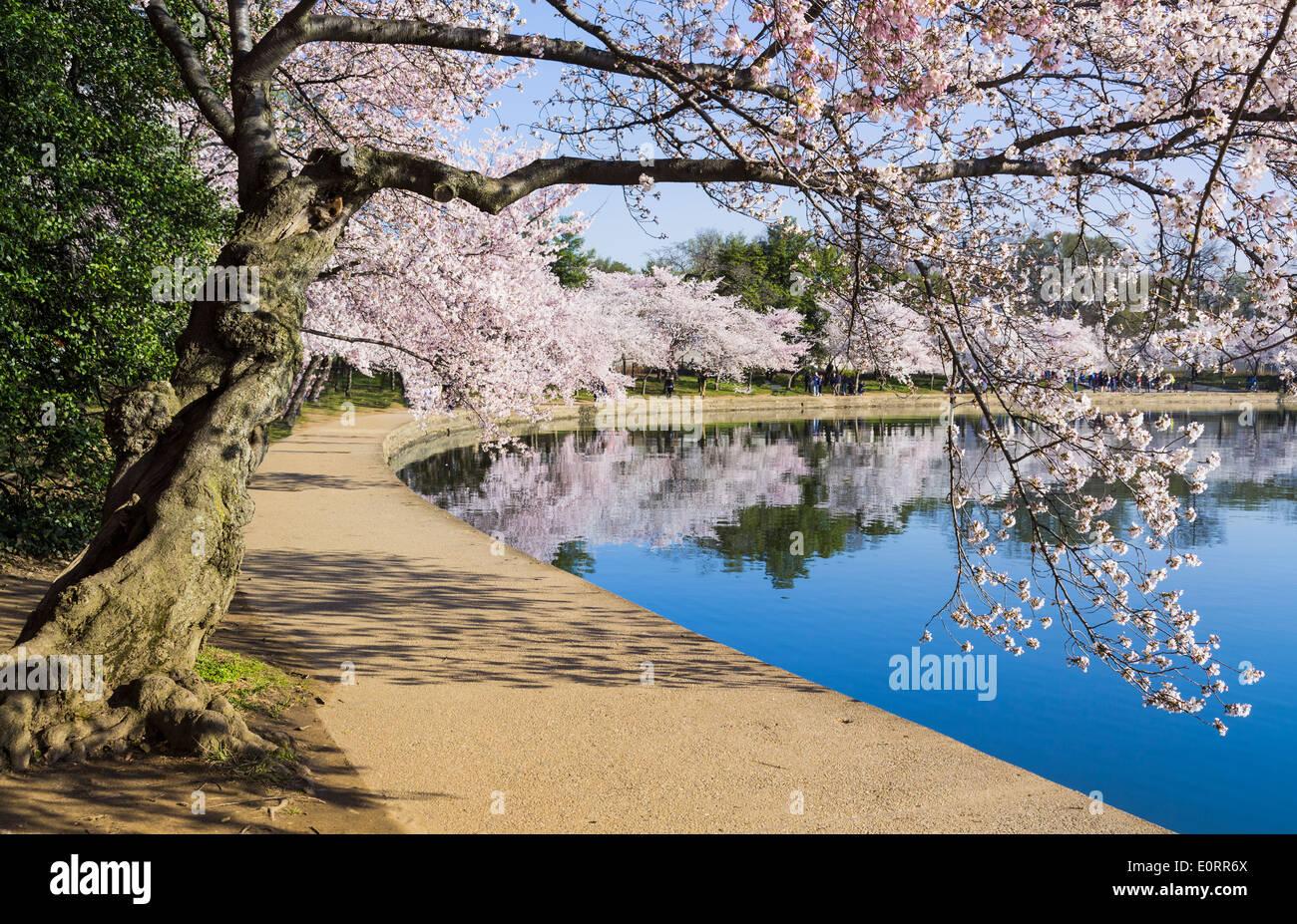 Fleur de cerisier, Washington DC, USA Photo Stock