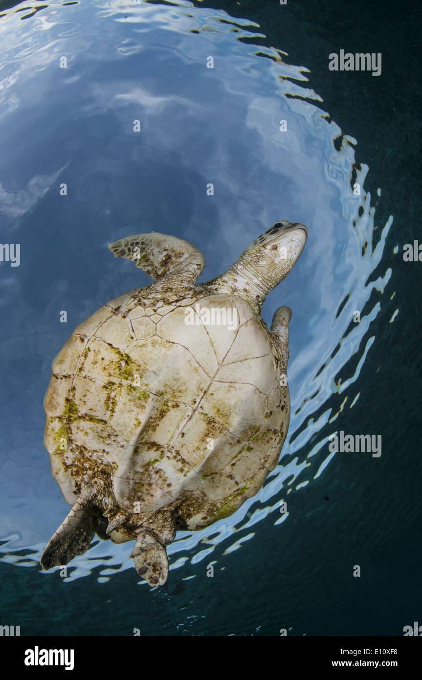 Tortue de mer verte, Sipdan island Malaisie (Chelonia mydas) Banque D'Images