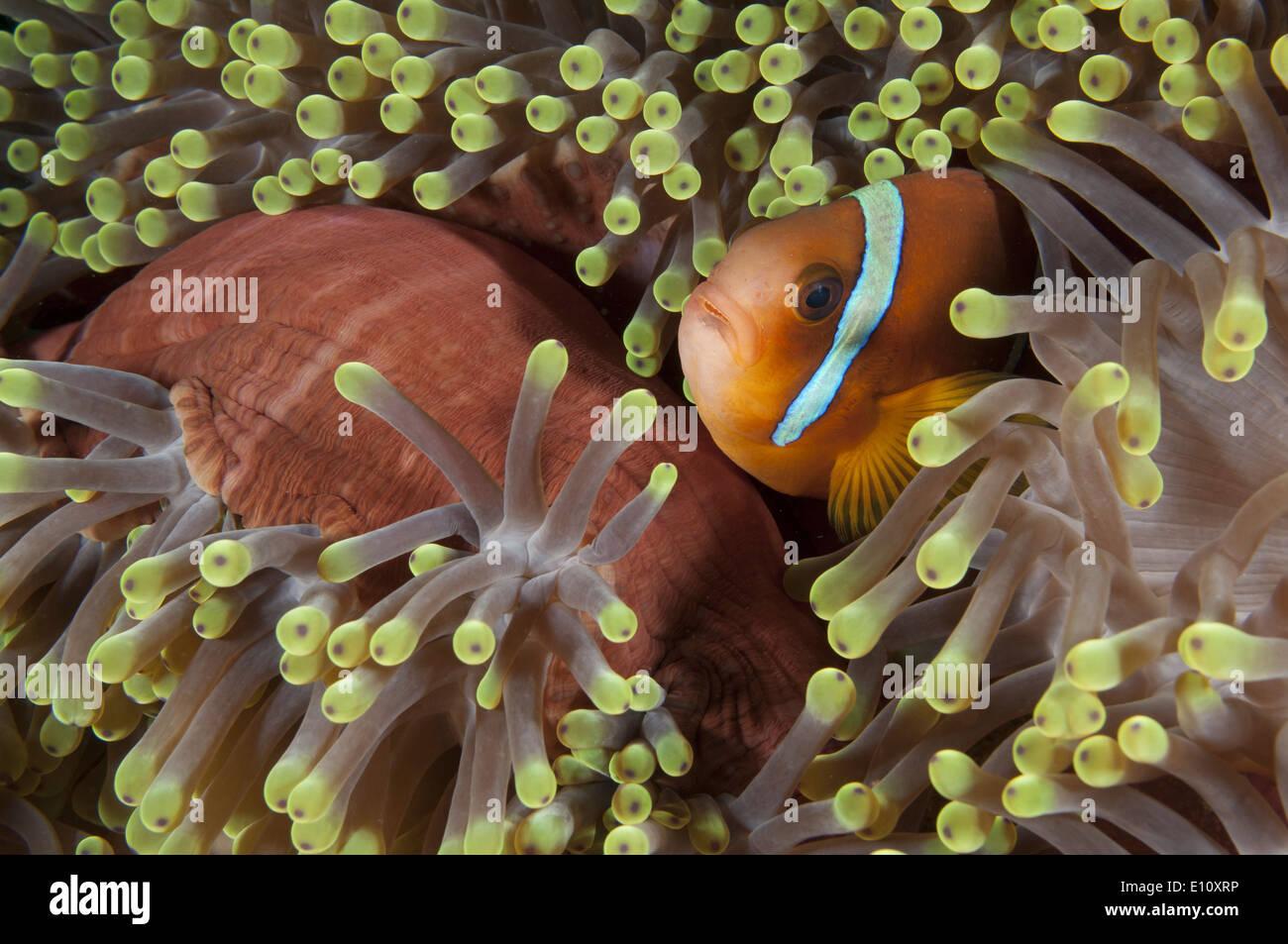 Poisson clown de la mer Rouge, au Soudan (Amphiprion) bicintus Banque D'Images