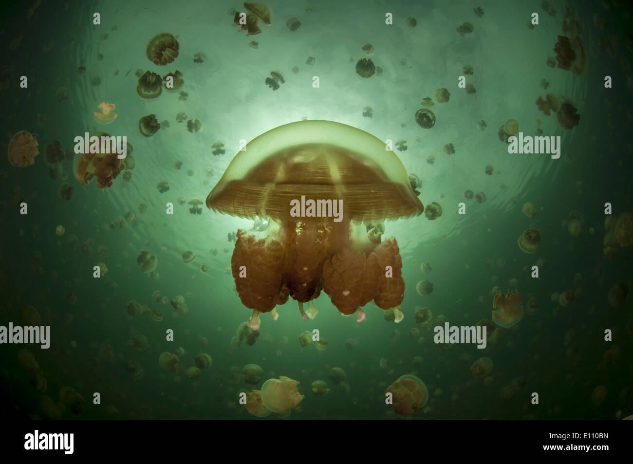 Moitié-moitié photo à Jellyfish lake, Palau (Mastigias) Banque D'Images