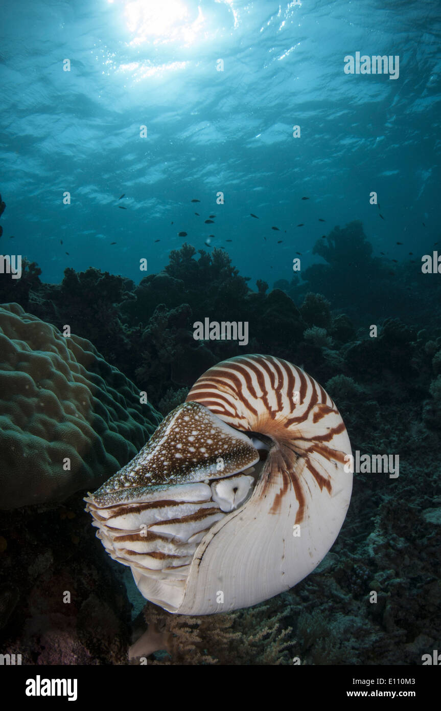 Nautilus, Palau (Nautilus) belauensis Banque D'Images