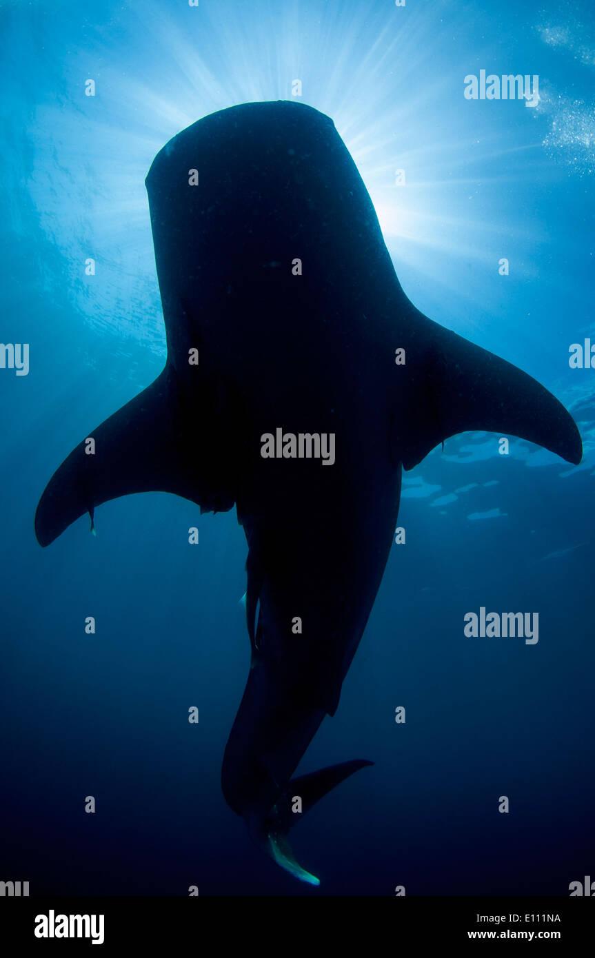 Requin-baleine silhouette, Cenderawasih Bay, en Nouvelle Guinée, Indonésie (Rhincodon typus) Banque D'Images