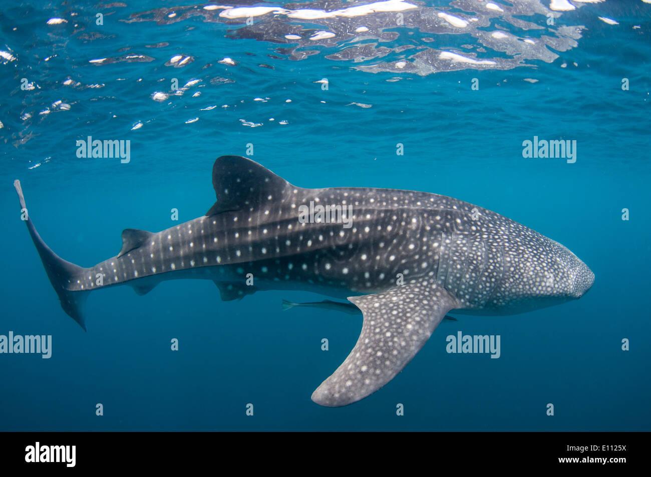 Requin-baleine, Cenderawasih Bay, en Nouvelle Guinée, Indonésie (Rhincodon typus) Banque D'Images