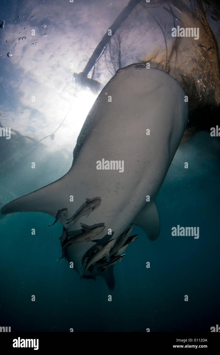 Requin-baleine sous les filets du bagan (bateau de pêche avec filets et plate-forme), Baie Cenderawasih, Guinée Banque D'Images