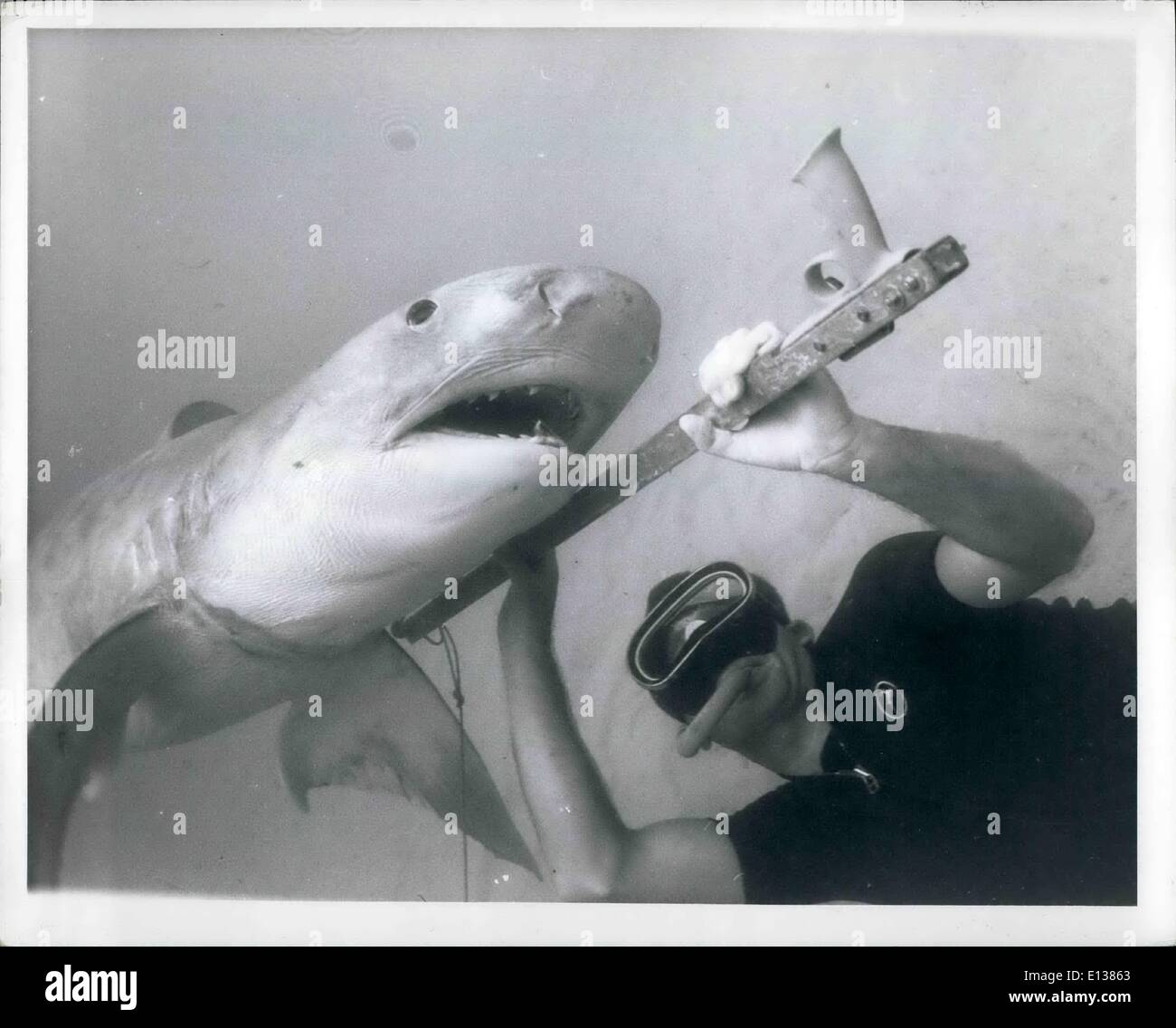 29 février 2012 - Bela Csidei pousse sur un 10 pieds requin tigre avec son fusil. Le SST. Banque D'Images