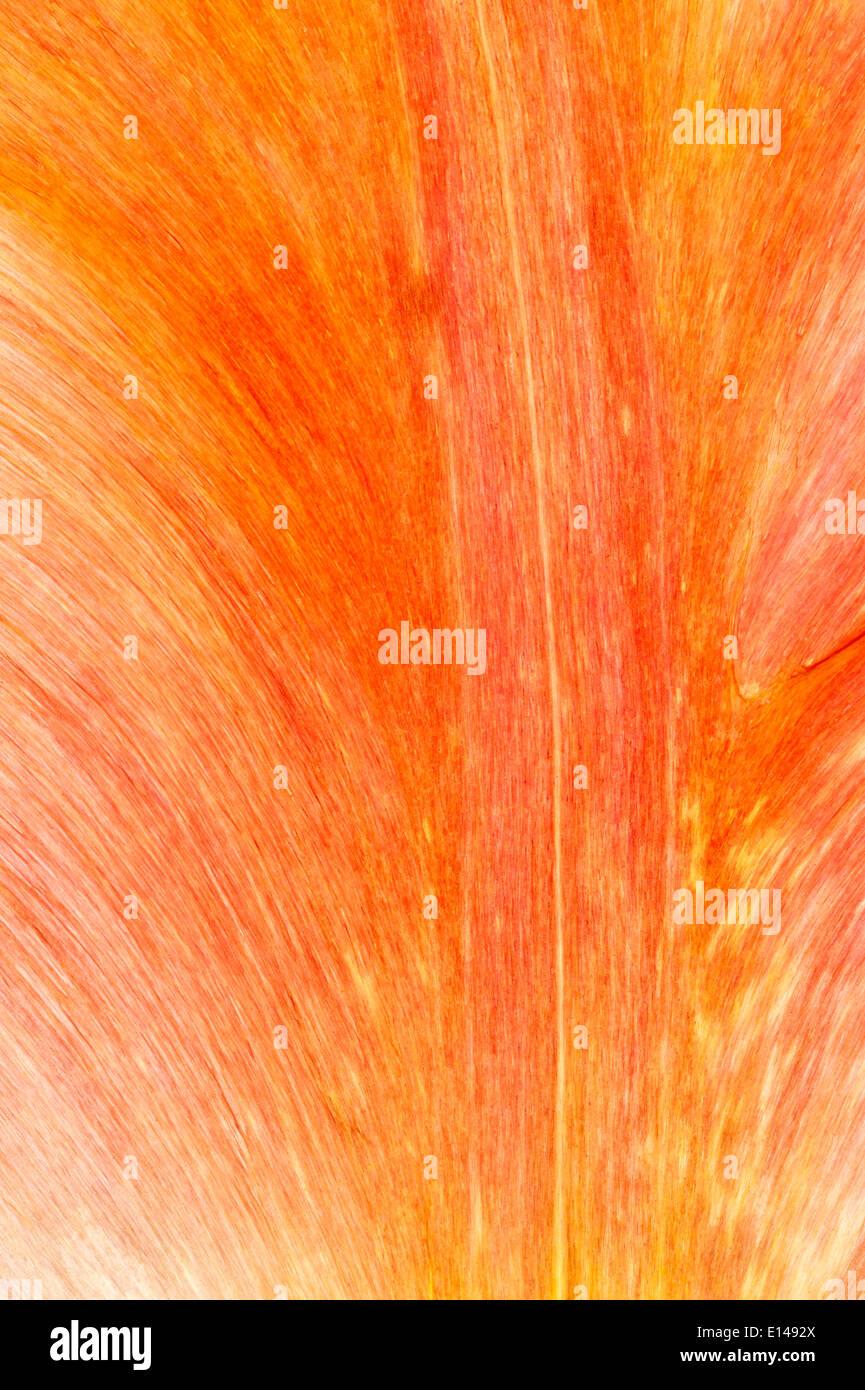 Libre d'un pétale de tulipe Photo Stock