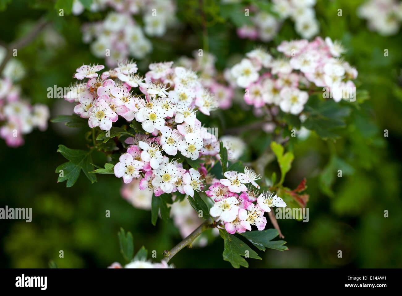 Fleur d'aubépine Photo Stock