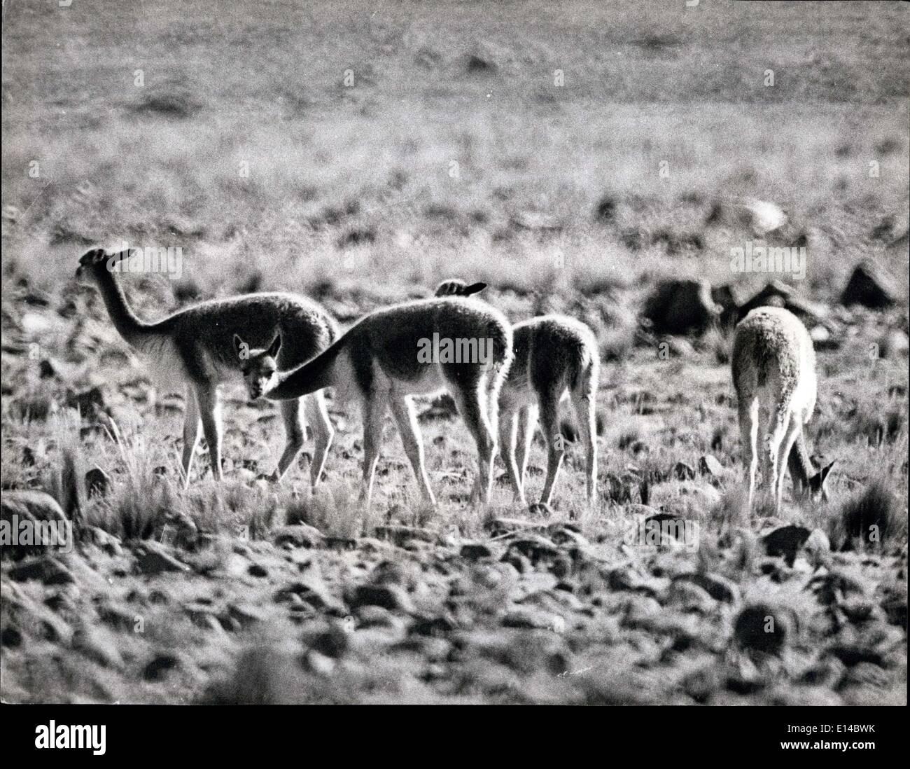 Le 17 avril 2012 - Menacé d'Extinction: Nouveau règlement peut encore sauver la vigogne dans les Andes: Ces images montrent juste reçu la vigogne dans son habitat naturel. Il est rare que cet animal timide pour permettre un caméraman de s'approcher assez près pour la bonne photographie. La vigogne d'Amérique du Sud, l'un des rares de la famille de le chameau et le lama, est menacé d'extinction et l'interdiction du Gouvernement, a annoncé cette semaine, à l'importation de la vigogne, les cheveux et la peau est le résultat d'une campagne menée par le World Wild Life Fund qui disent qu'il y a moins que 10 000 vigognes en existence Banque D'Images