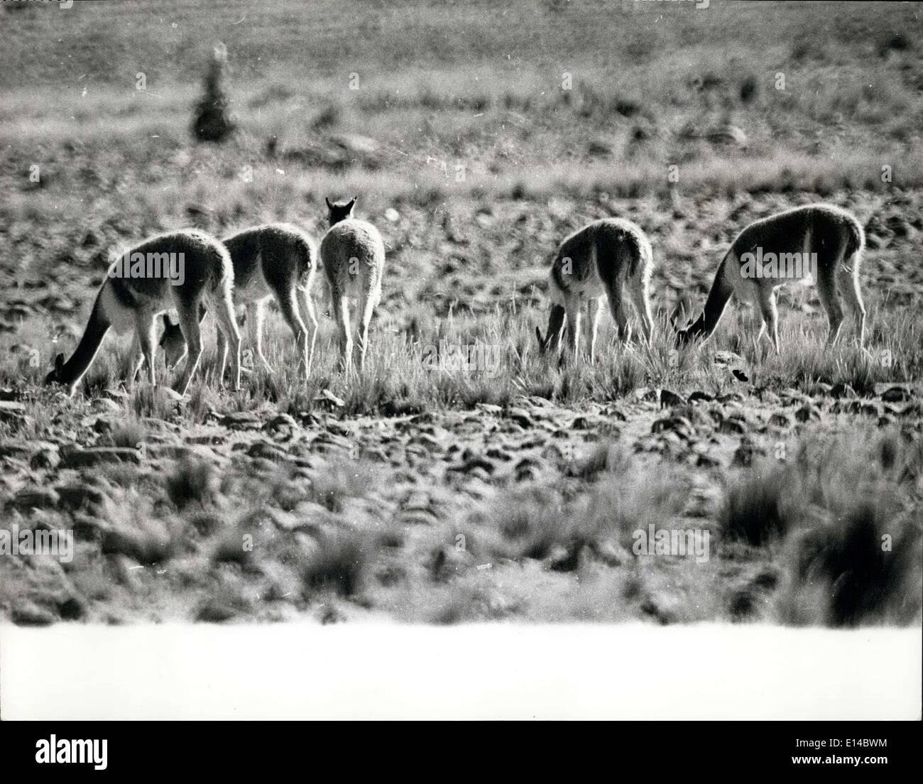 17 avril 2012 - menacé d'extinction de nouvelles réglementations ~ay encore sauver la vigogne dans les Andes. Ces photos que nous venons de recevoir montrent le Vicuna dans son habitat naturel. Il est rare pour cet animal timide de permettre à un camaraaman d'approcher suffisamment près pour une bonne photographie. Le Vicuna, un rare parent sud-américain du chameau et de l'Ilama, est menacé d'exposition et l'interdiction gouvernementale, annoncée cette semaine, sur l'importation de poils et de peau de Vicuna, Est le résultat d'une campagne du fonds mondial de la vie sauvage qui disent qu'il y a moins de 10,000 vigognes en existence Banque D'Images