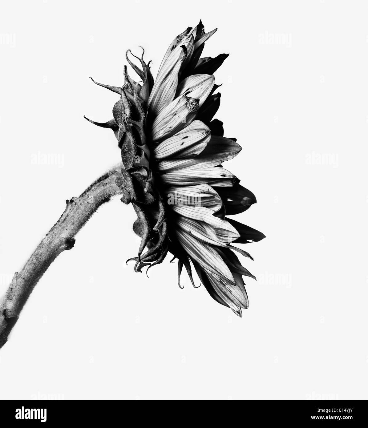 Le tournesol en noir et blanc Photo Stock