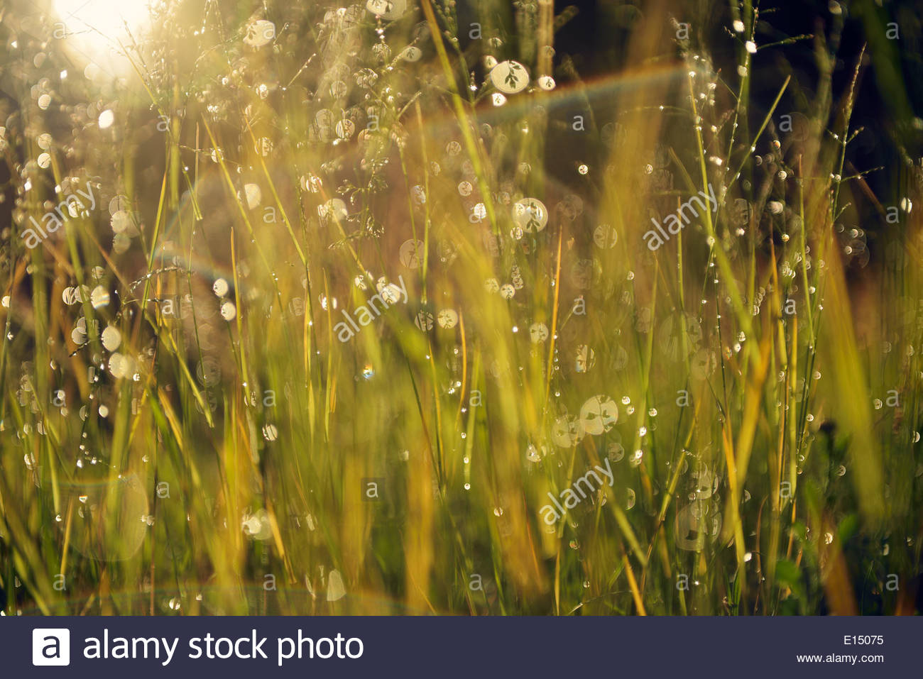 La Suède, Leksand, gouttes d'eau sur les tiges de graminées Photo Stock
