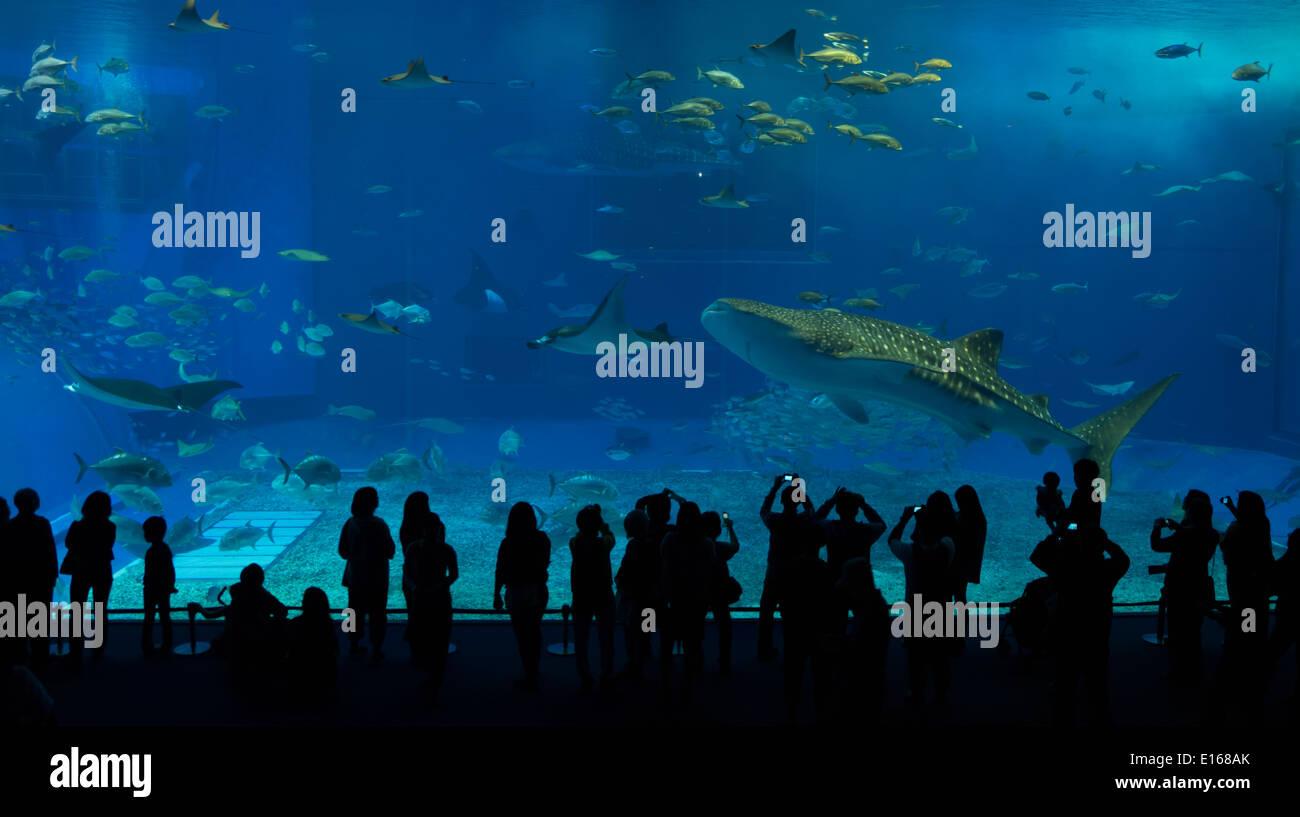 Un requin-baleine nage d'anciens visiteurs visualiser le réservoir principal de l'Aquarium Churaumi, Okinawa, Japon Photo Stock