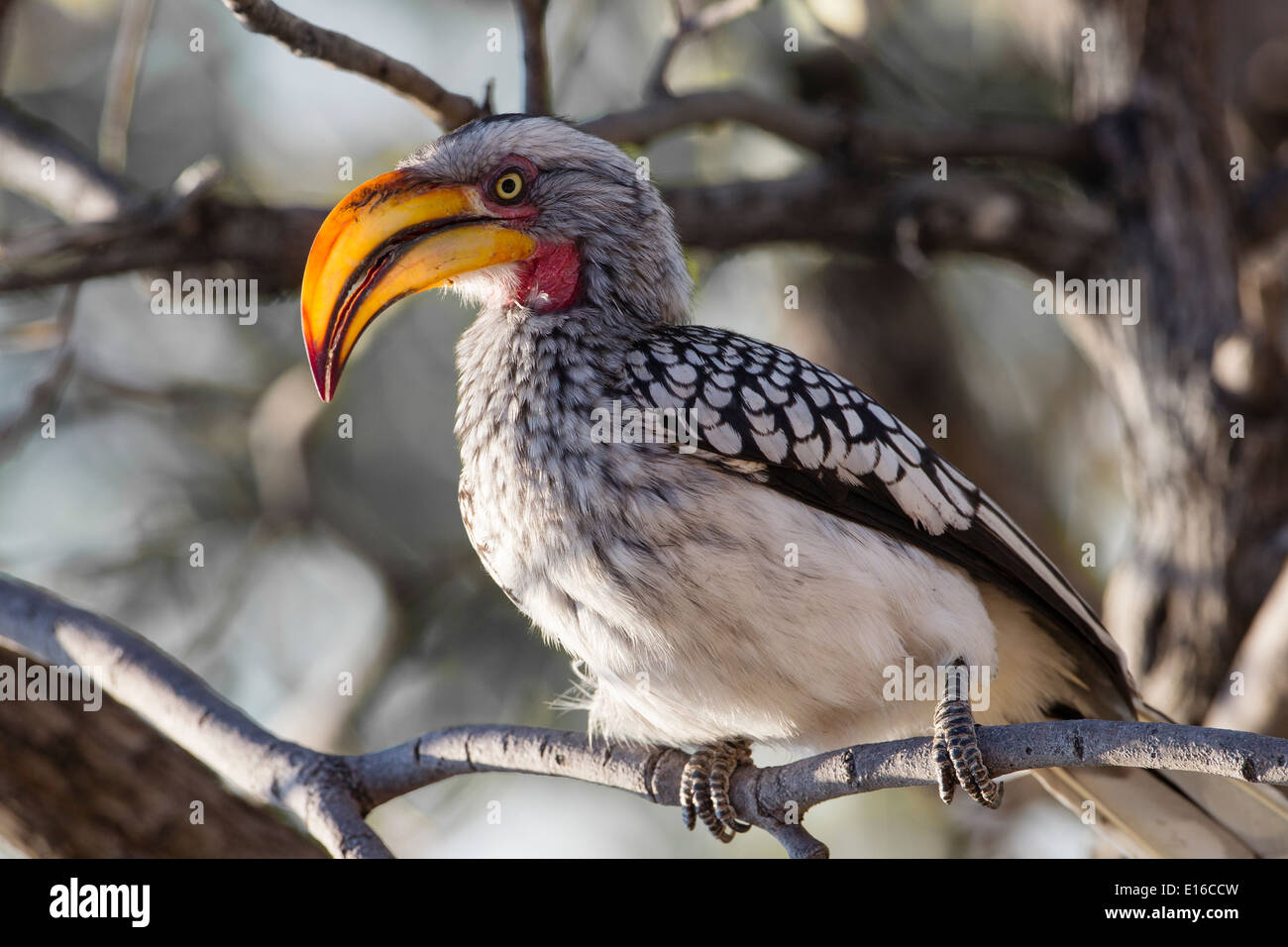 Le sud de l'Yellow-Billed Hornbill Photo Stock