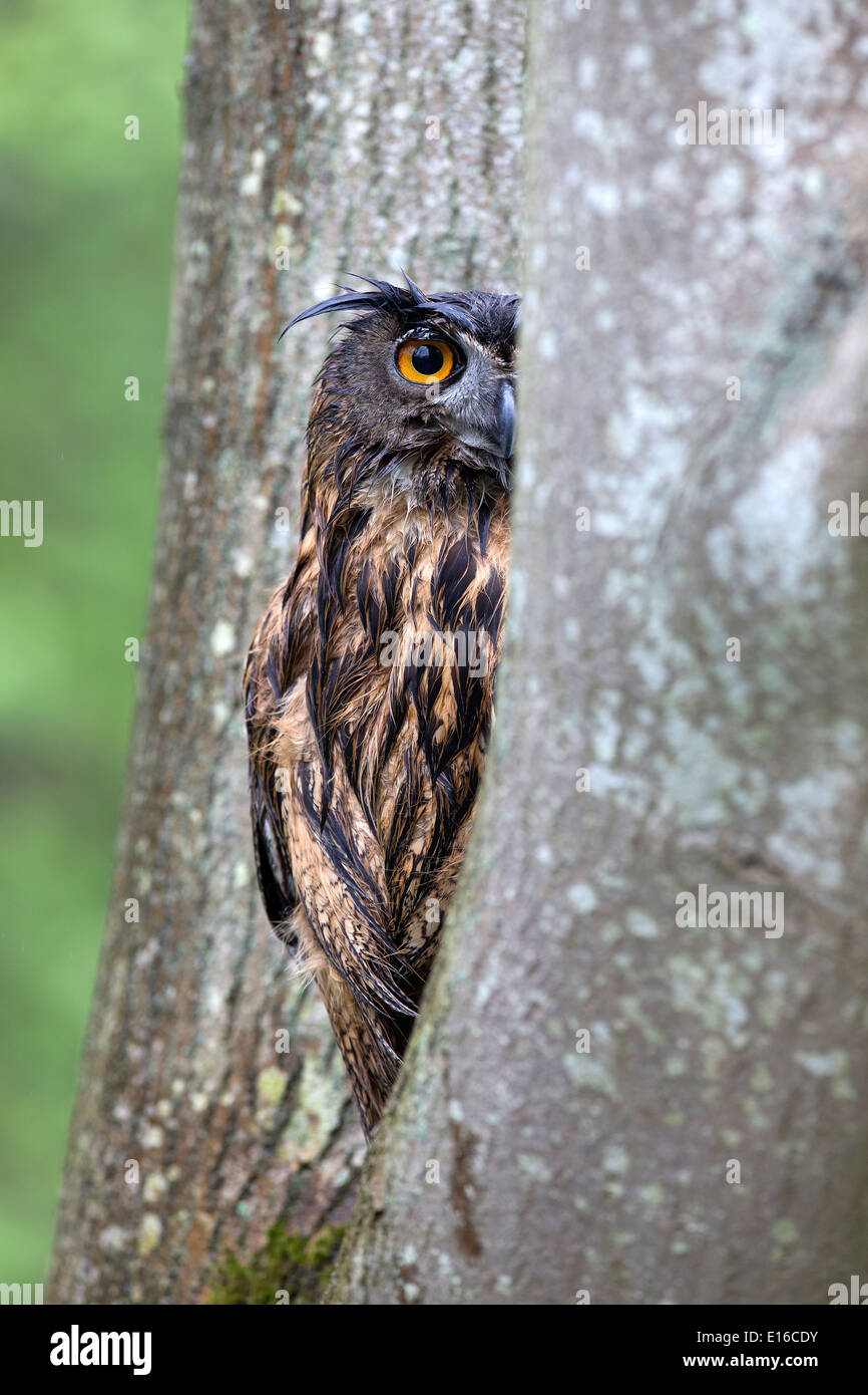 Grand d'Amérique, Bubo bubo, assis dans un arbre Photo Stock