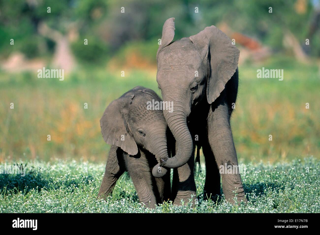 L'éléphant africain (Loxodonta africana) Veaux de jouer. Delta Okovango, Botswana Banque D'Images