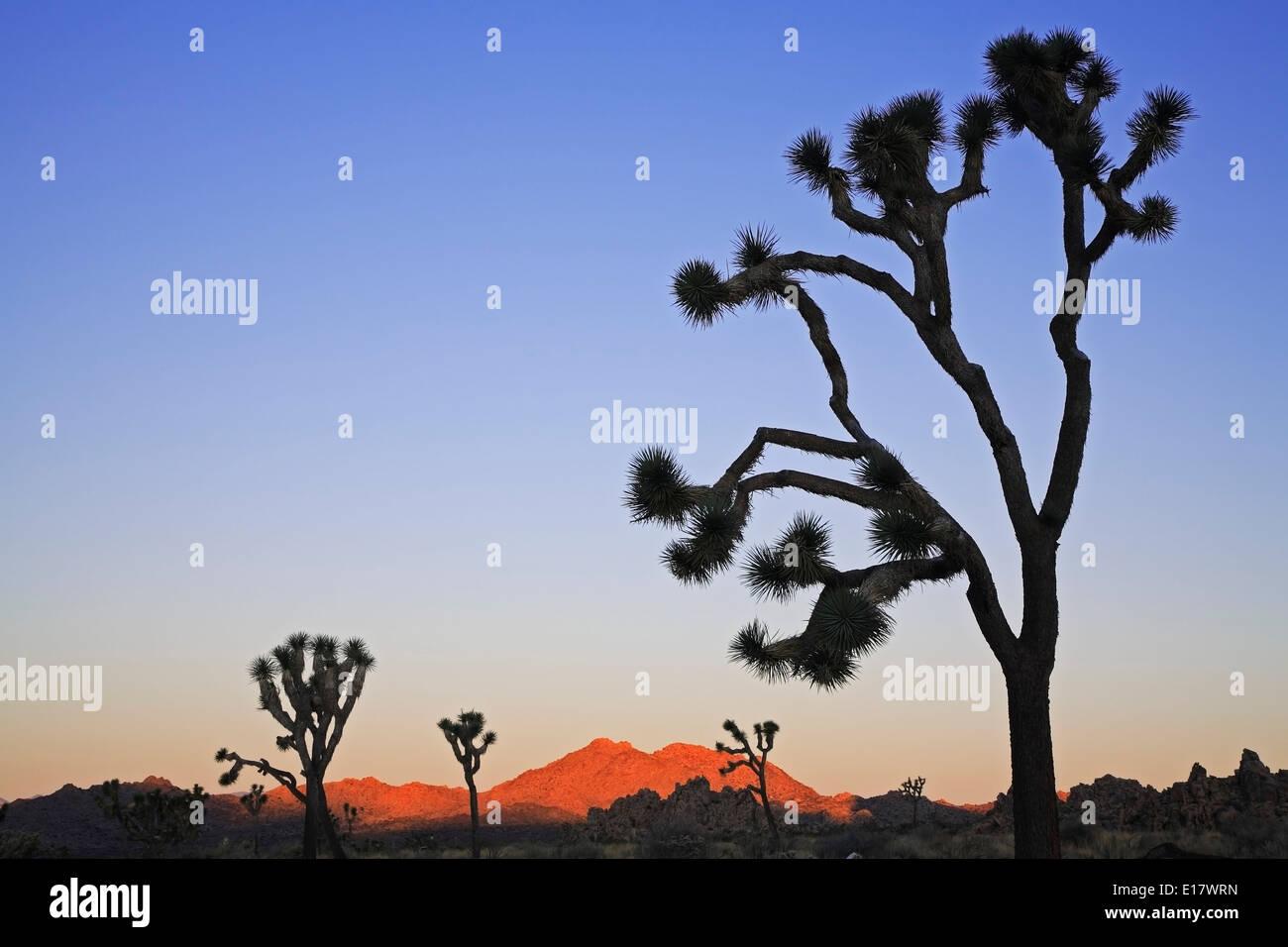 Joshua trees (Yucca brevifolia) silhouettes et les collines, le parc national Joshua Tree, California USA USA Photo Stock
