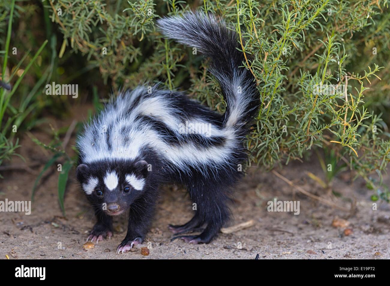 Putois rayé(Ictonyx striatus).La Namibie Banque D'Images