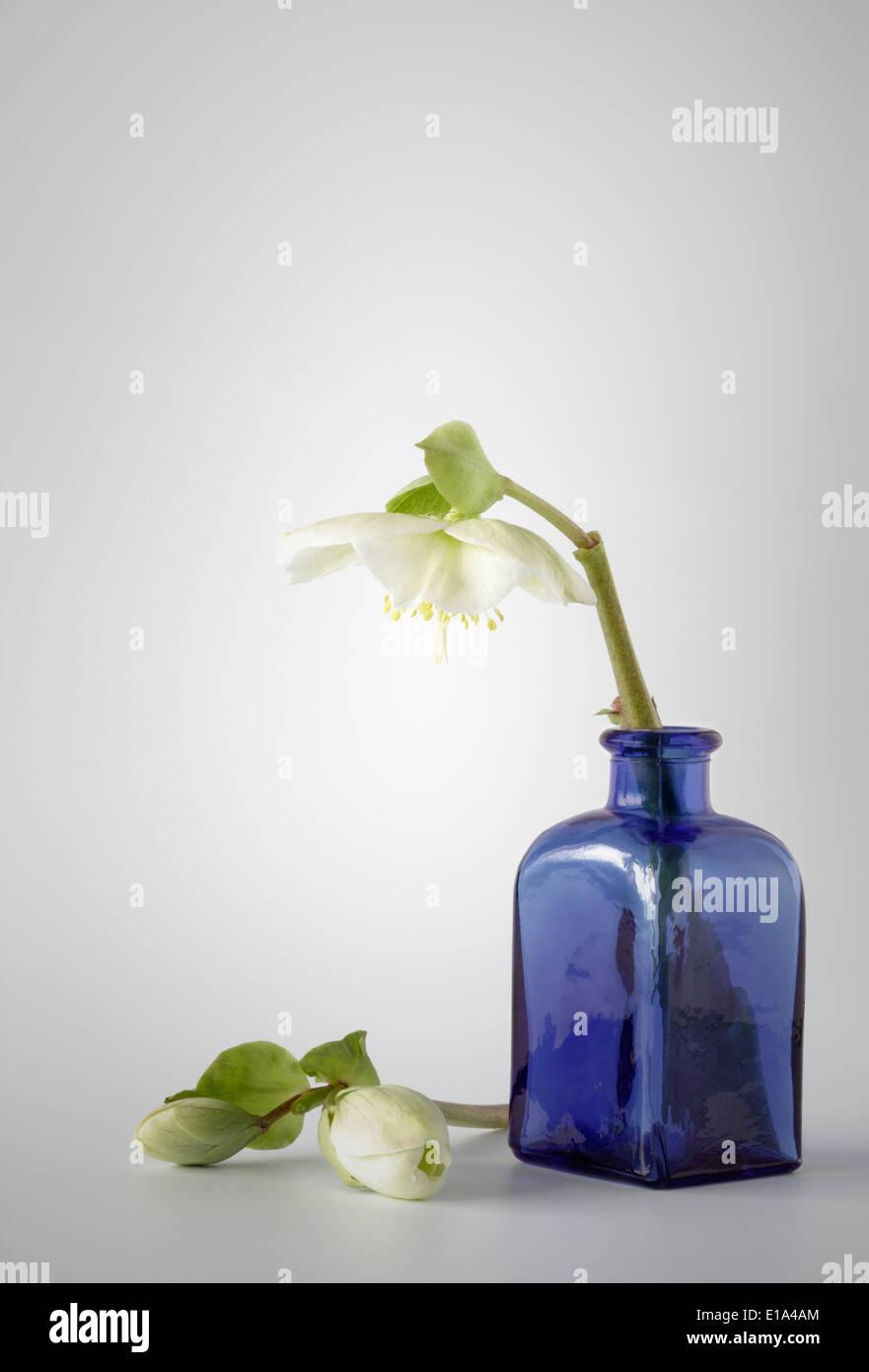 Graines Hellébores blanches avec bouteille en verre bleu Photo Stock