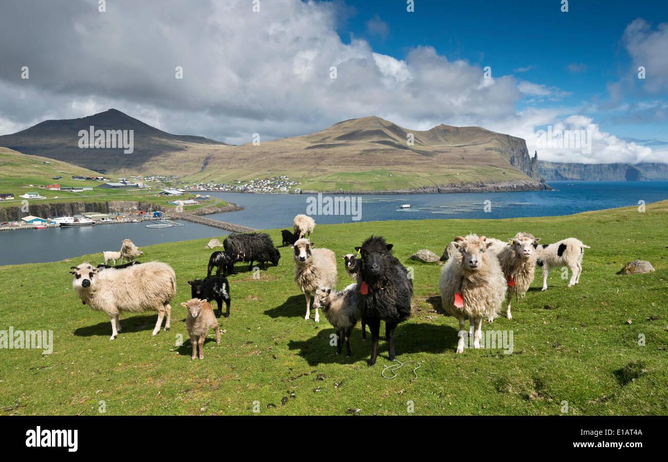 Les moutons, Pigalle, îles Féroé, Danemark Photo Stock