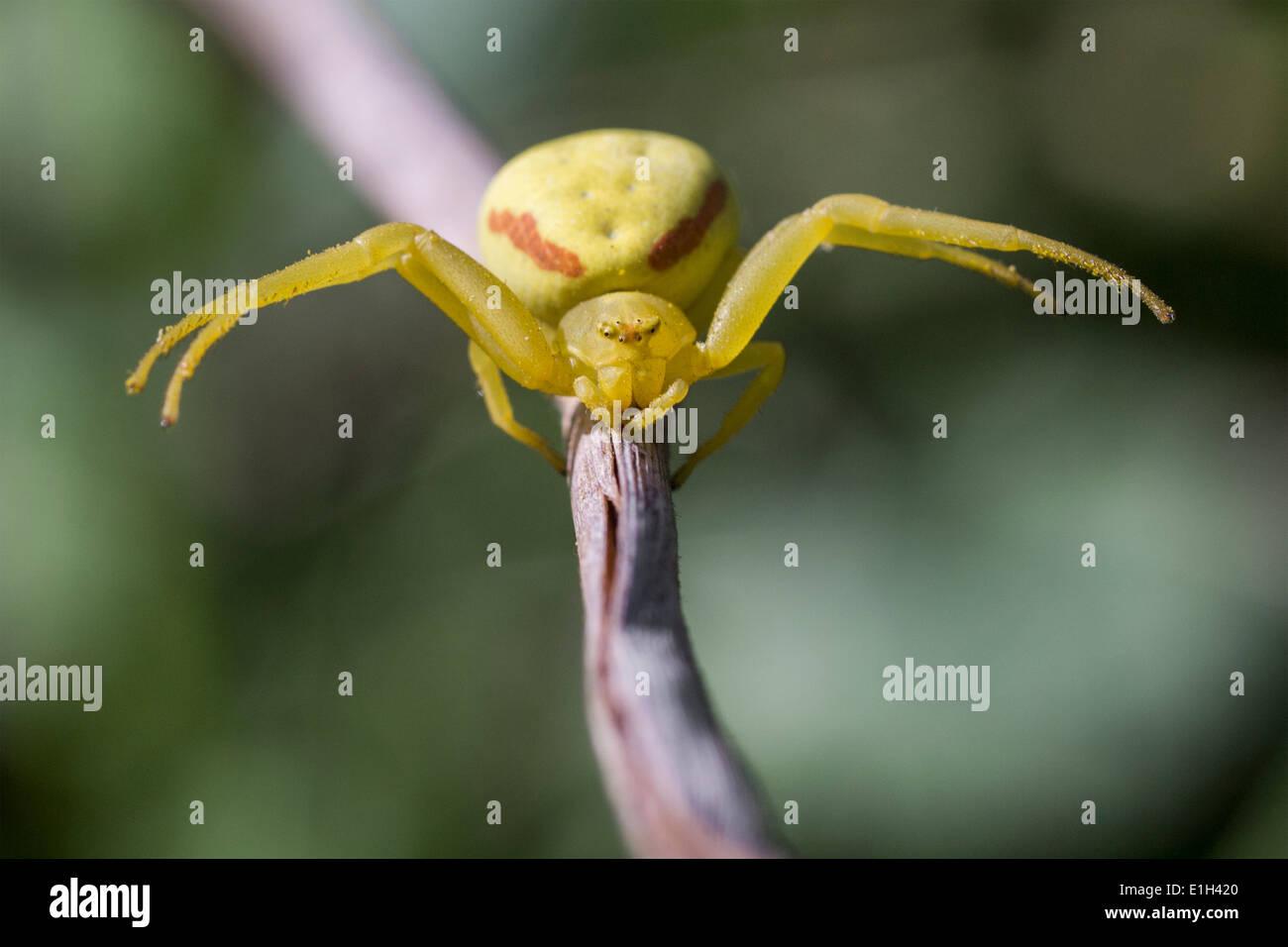 Houghton, Misumena vatia ARAIGNÉE CRABE, comté de Marin, en Californie, USA Photo Stock