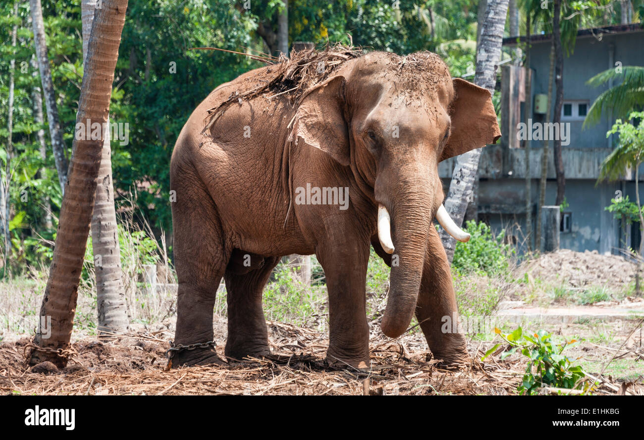 Éléphant d'Asie (Elephas maximus), Kerala, Inde Photo Stock