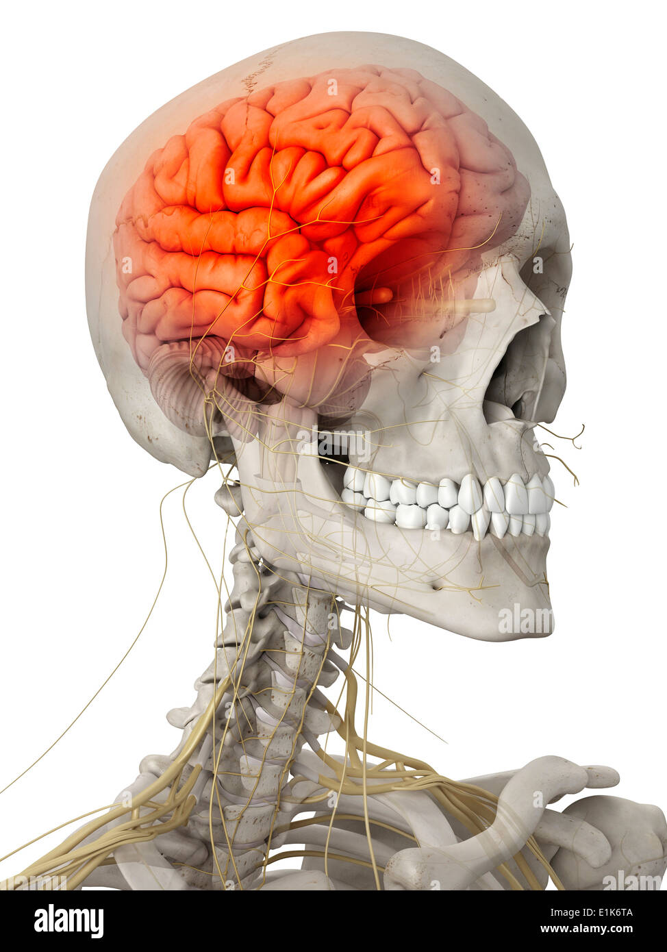 Cerveau humain et les nerfs de la tête d'art de l'ordinateur. Photo Stock