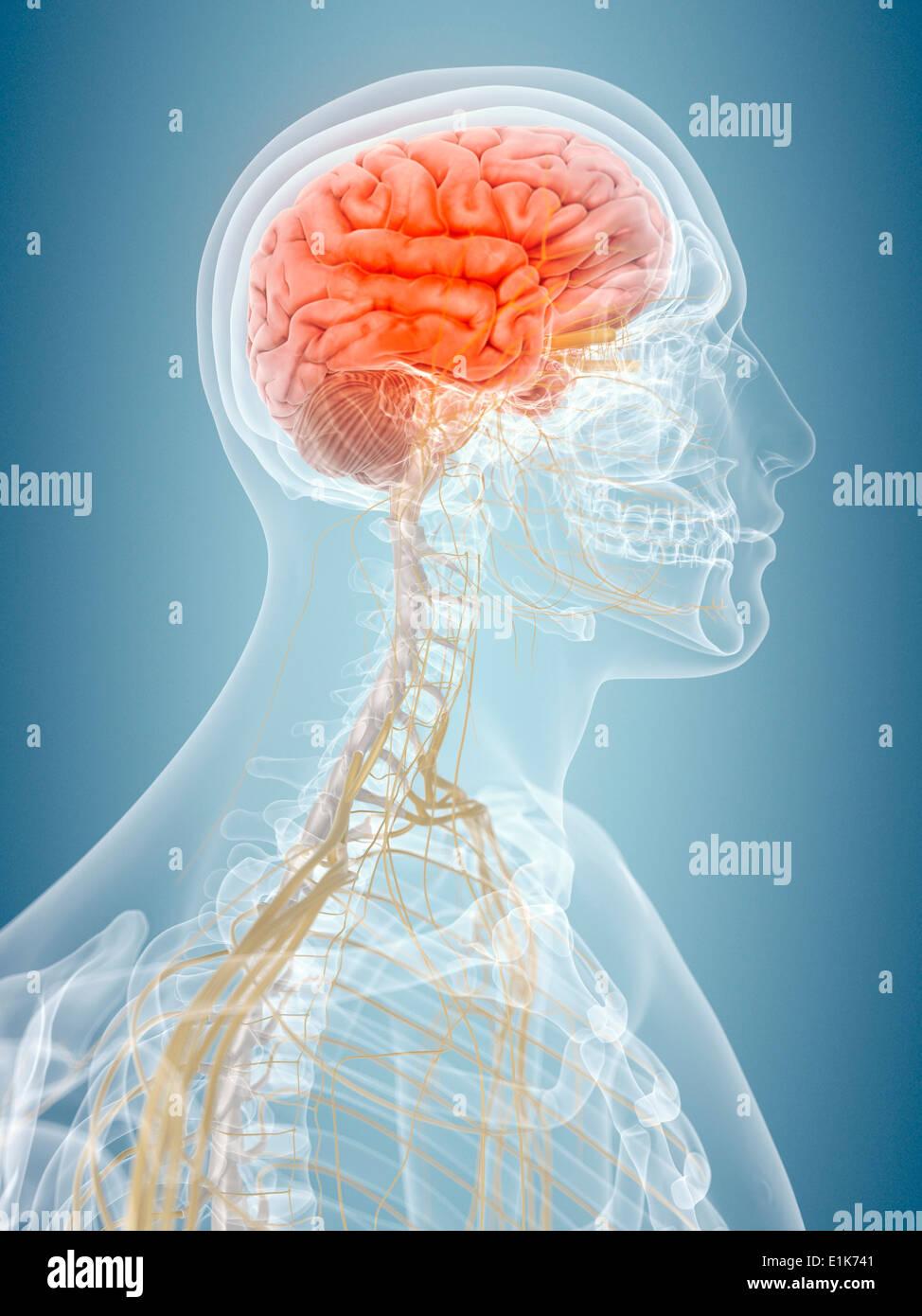 Cerveau humain de l'oeuvre de l'ordinateur. Photo Stock