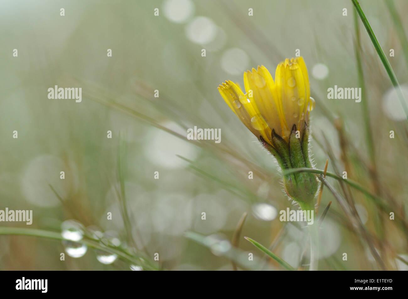 La floraison en Hawkbit rugueuse couverte de rosée prairies pauvres en éléments nutritifs Photo Stock