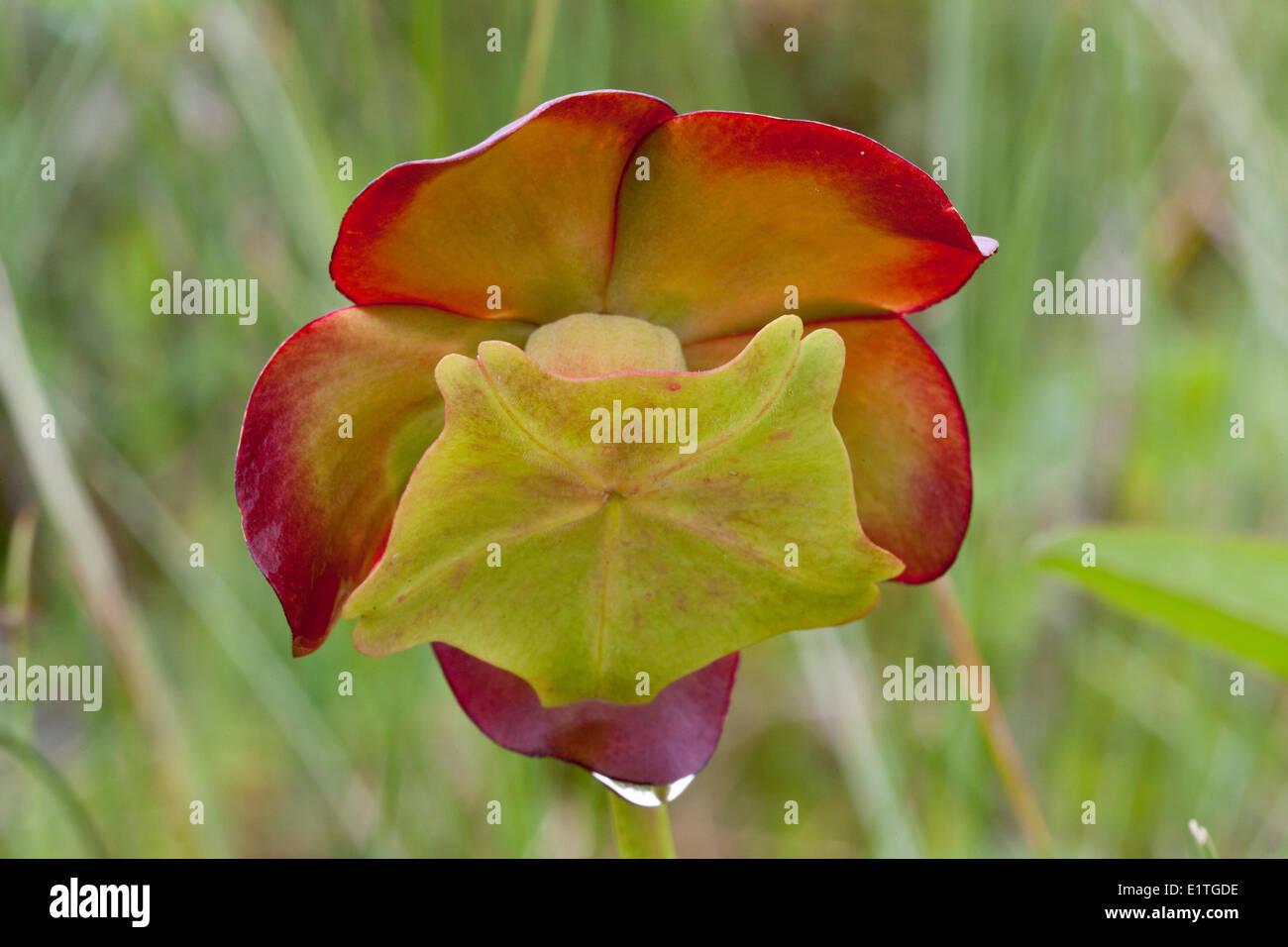 La fleur sur une sarracénie pourpre (Sarracenia purpurea) dans le parc national du Gros-Morne à Terre-Neuve - cette plante carnivore Banque D'Images