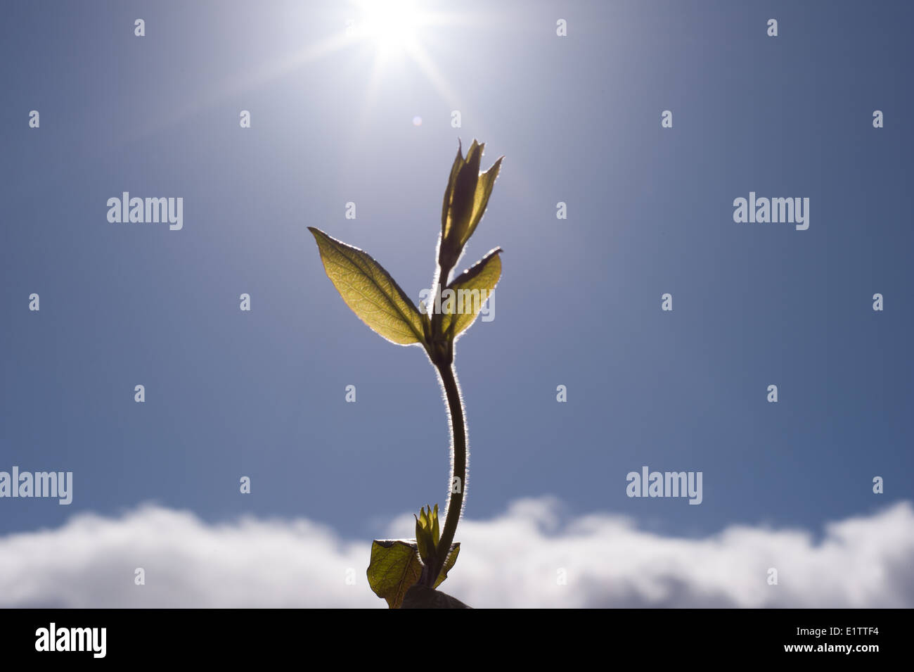 Croissance d'un arbrisseau atteignant jusqu'au soleil Photo Stock