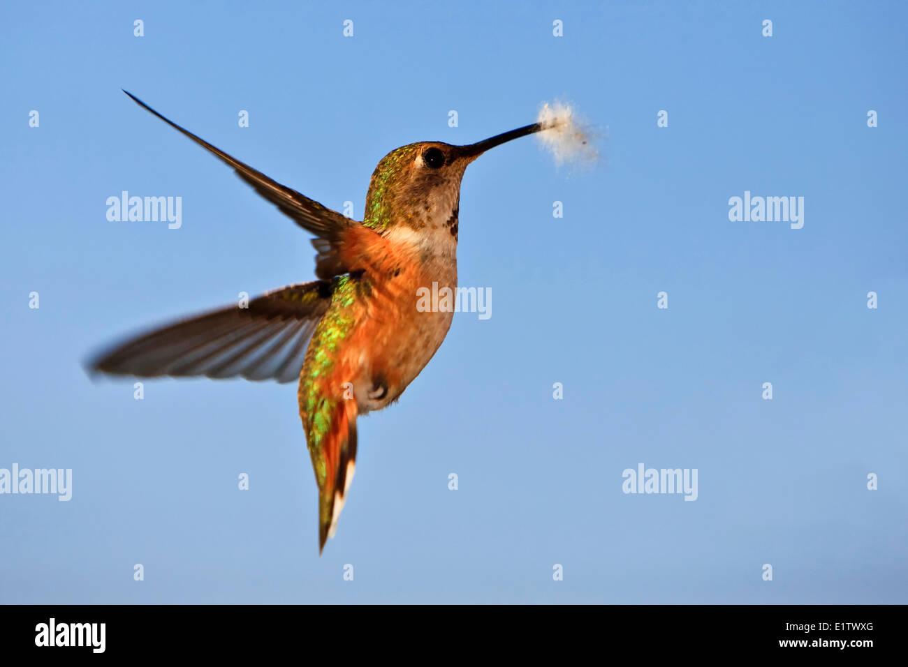 Colibri, colibri roux, la collecte de matériaux de nidification, l'île de Vancouver, Colombie-Britannique, Photo Stock
