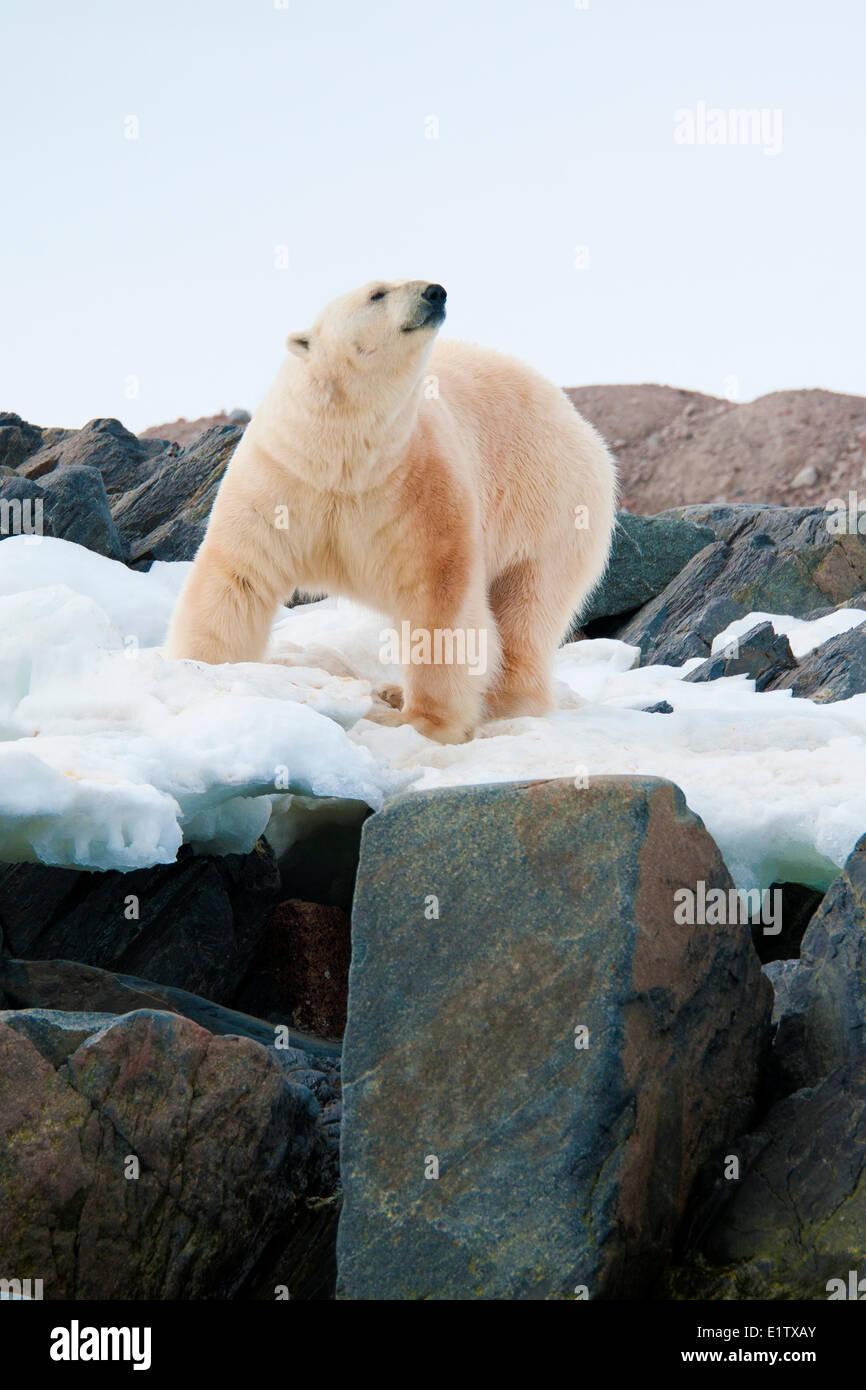 Pays sans littoral ours polaire (Ursus maritimus), archipel du Svalbard, l'Arctique norvégien Photo Stock