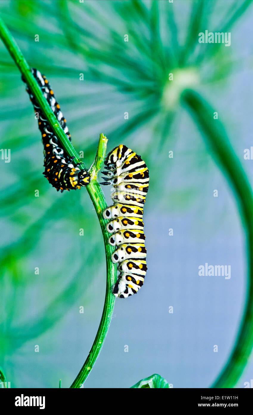Larve, Swallowtail noir de l'Est (Papilio polyxenes), cinquième stade larvaire, l'alimentation, Banque D'Images