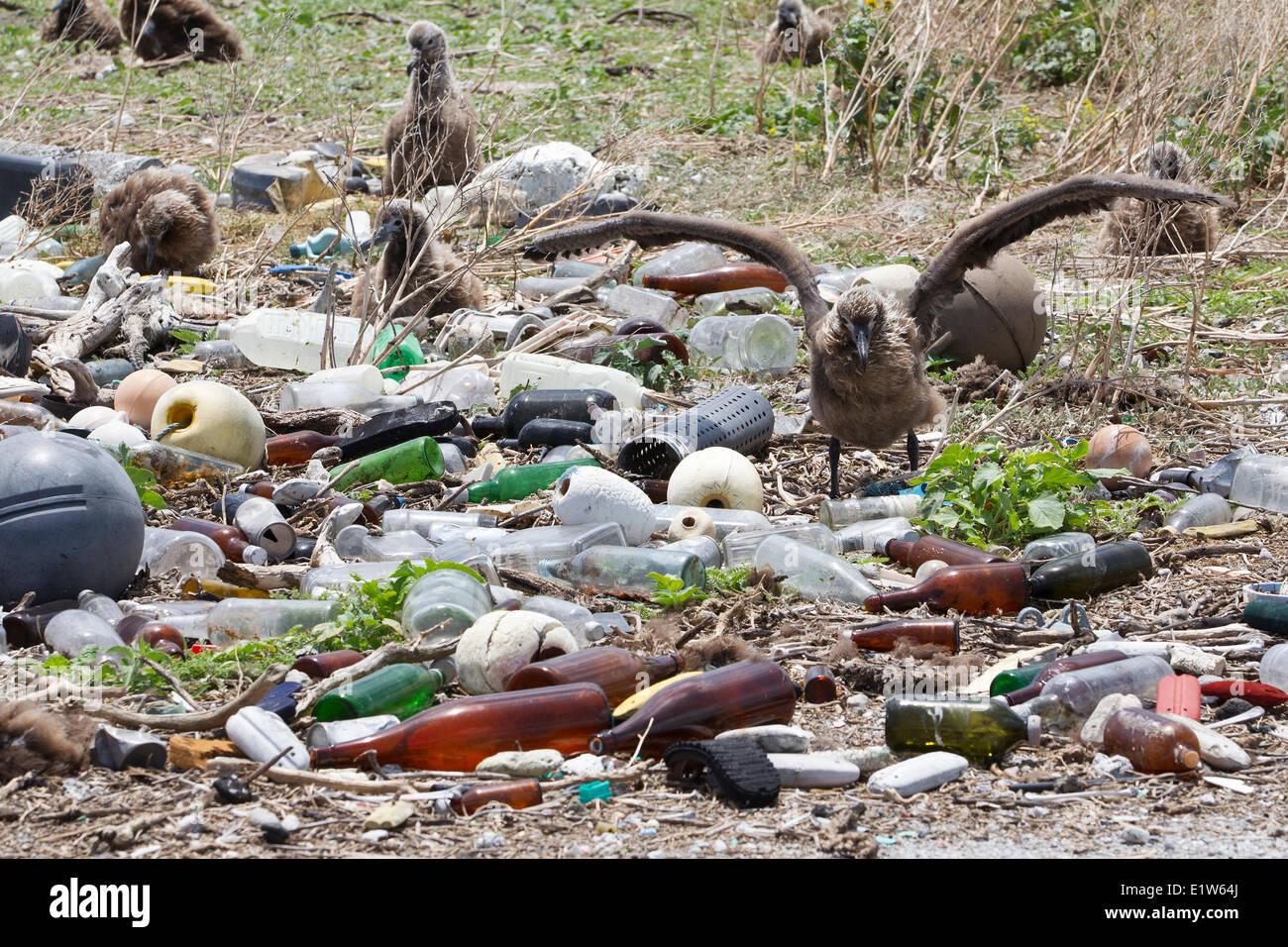 Albatros de Laysan (Phoebastria immutabilis) colonie de nidification recueillies à déchets en plastique Photo Stock