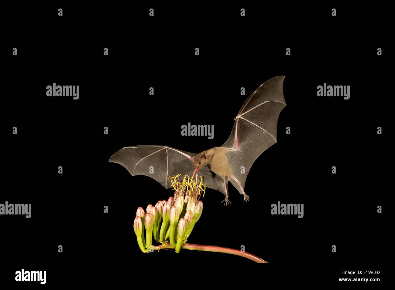 Bec long moindre Leptonycteris yerbabuenae (bat), se nourrissant de fleur d'Agave, Amado, Arizona. Cette chauve-souris est classé vulnérable. Banque D'Images