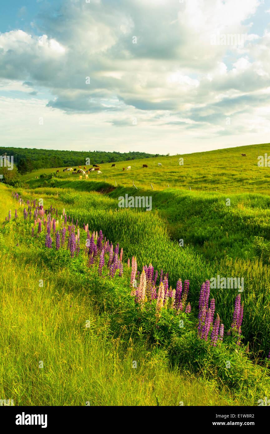 Le lupin et le pâturage du bétail, Pleasant Valley, Prince Edward Island, Canada Photo Stock