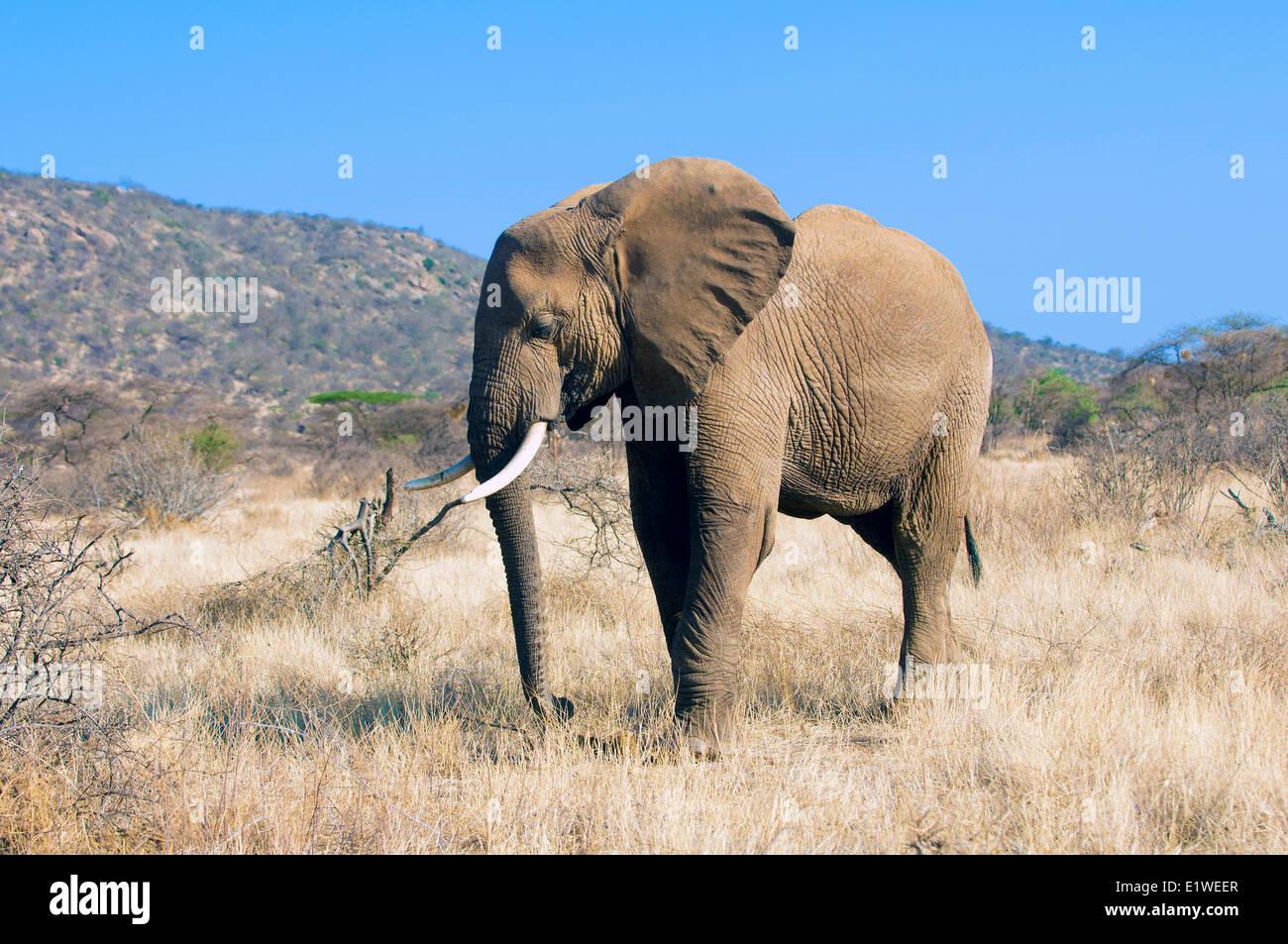 Savannah Bull elephant (Loxodonta africana), Samburu National Park, Kenya, Afrique de l'Est Photo Stock