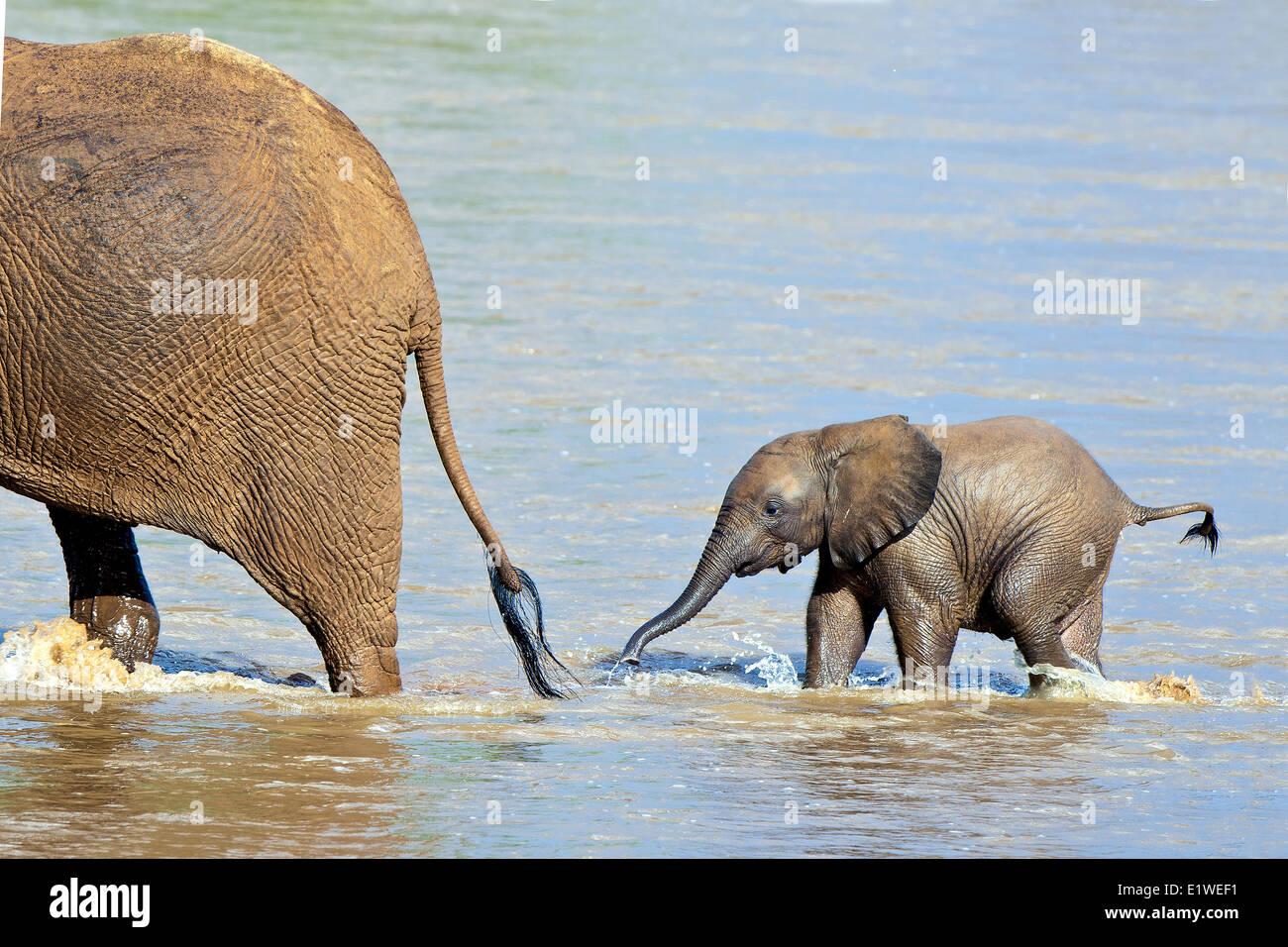 L'éléphant de savane d'Afrique (Loxodonta africana) traverser la rivière Ewaso Ng'iro, Photo Stock