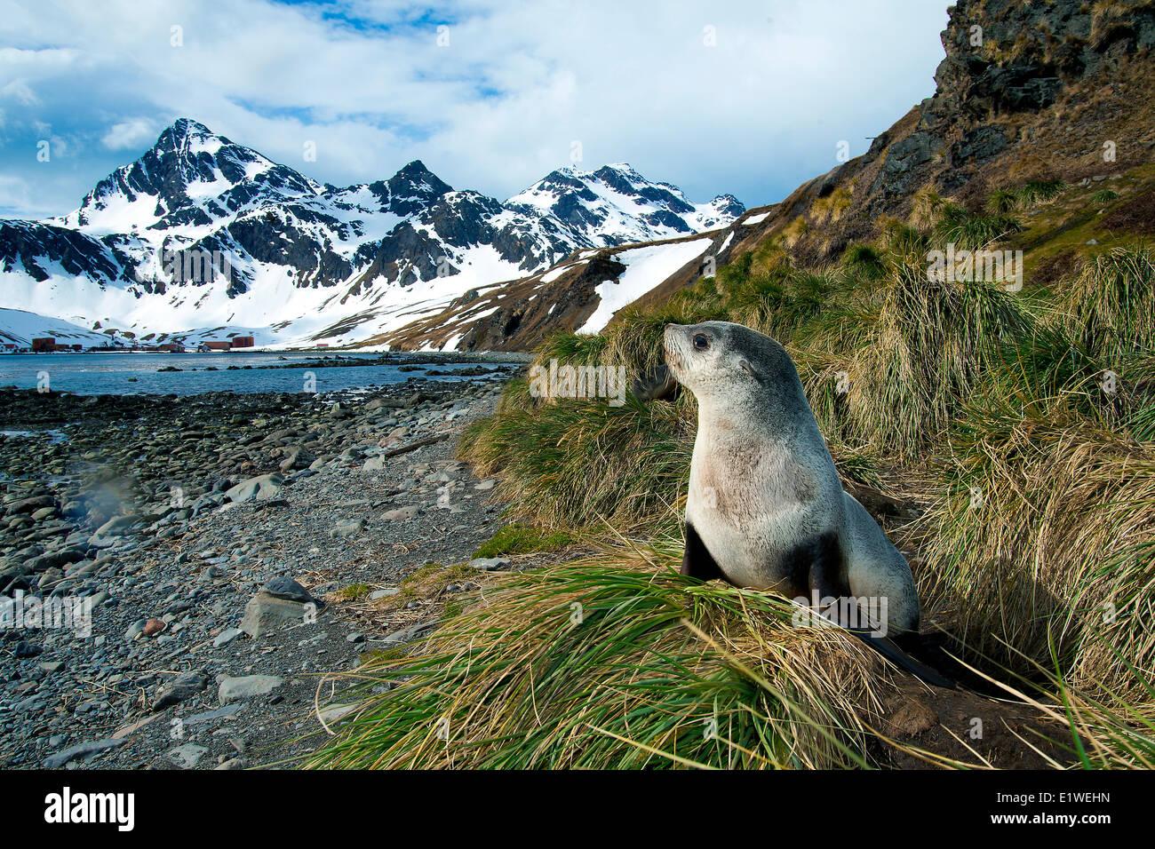 L'Antarctique pour mineurs (Arctocephalus gazella), l'île de Géorgie du Sud, l'Antarctique Banque D'Images