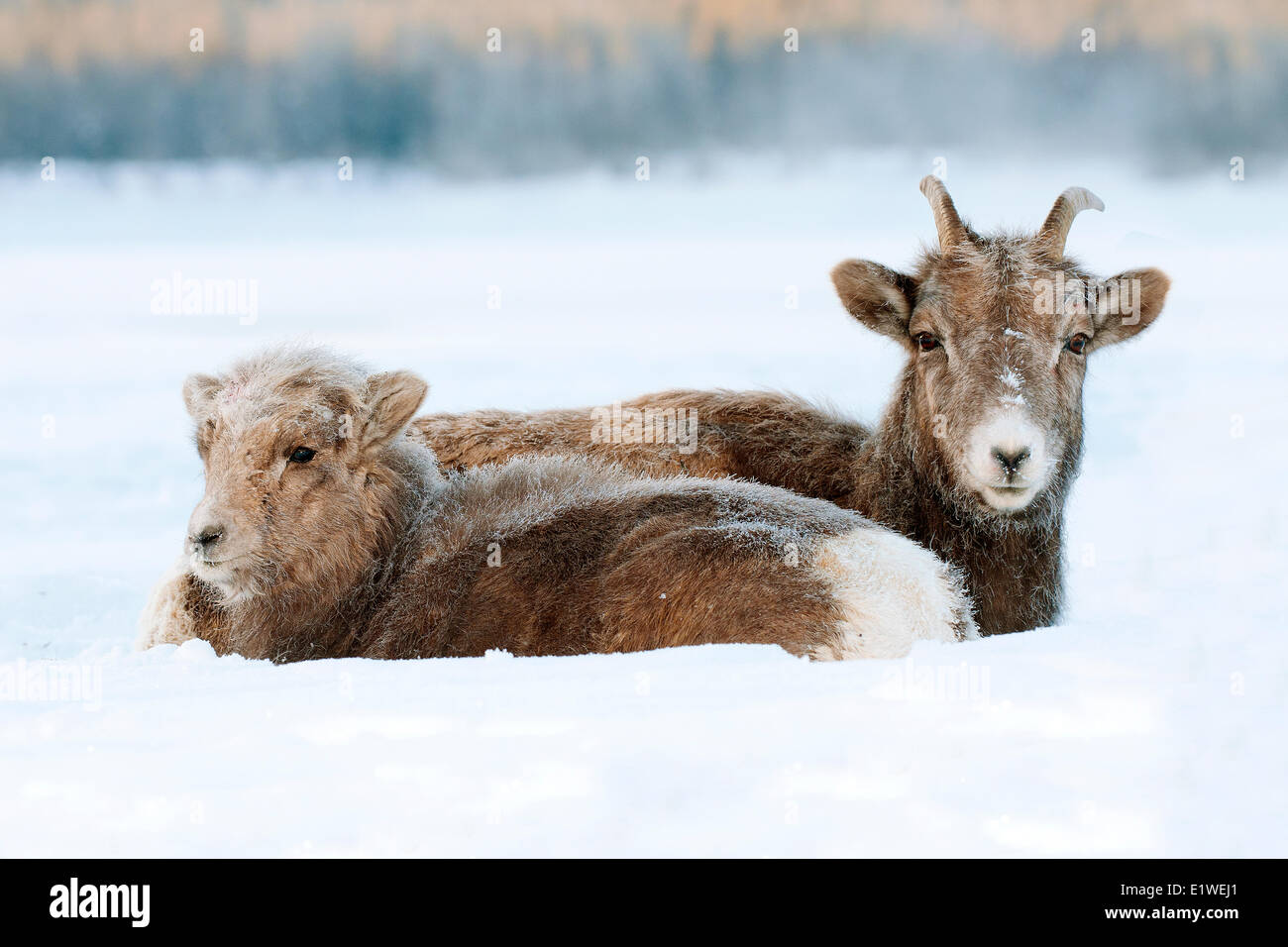 Mouflons, brebis et l'agneau (Ovis canadensis), avec le gel-couverts muselières à -28C, Jasper National Photo Stock