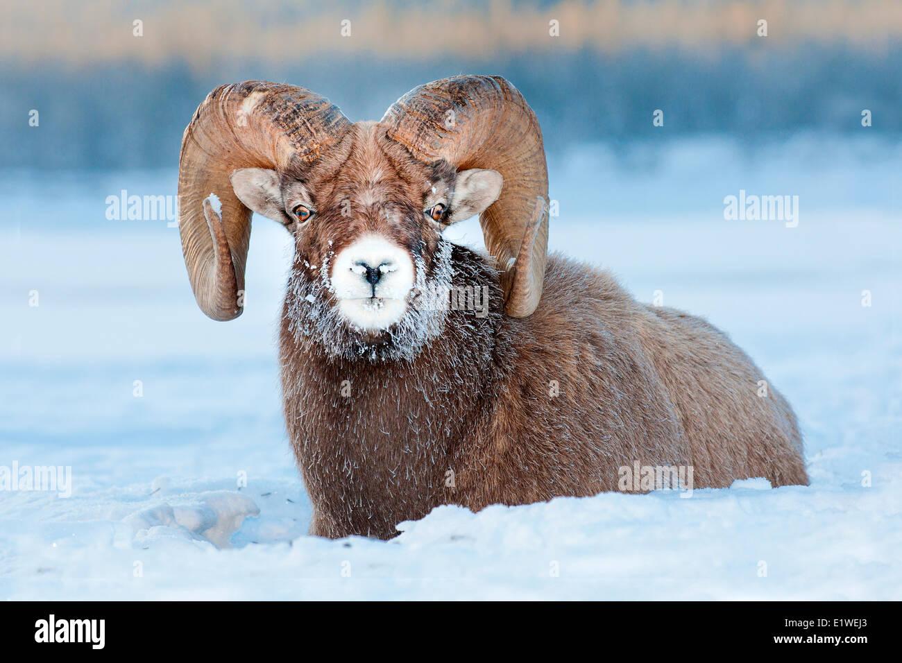 Ram mouflon (Ovis canadensis), avec le gel-museau couvert à -28C, Jasper National Park, Alberta, Canada Photo Stock