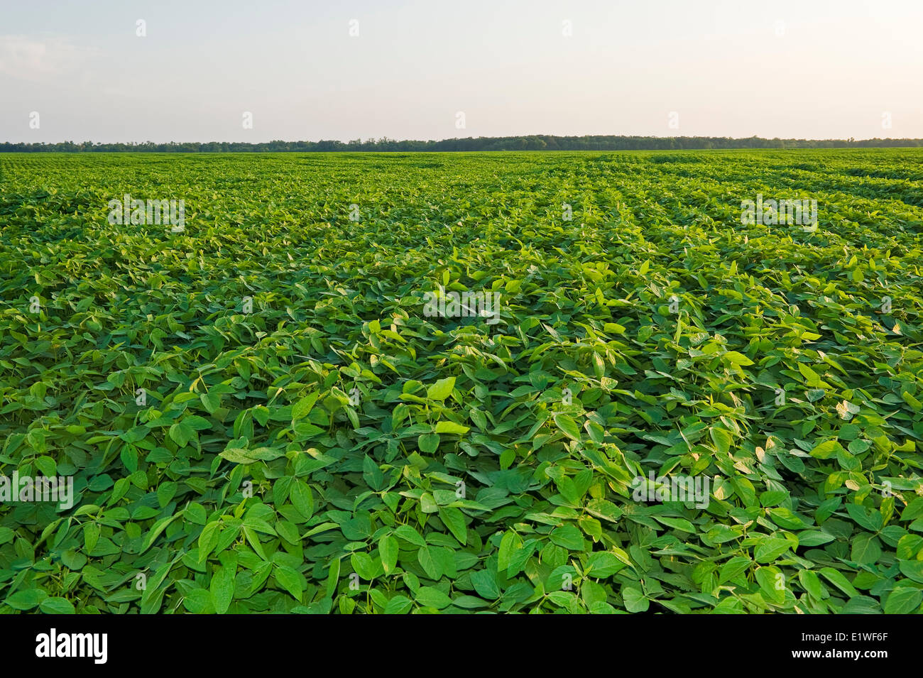 La croissance mi-champ de soya, Manitoba, Canada Photo Stock