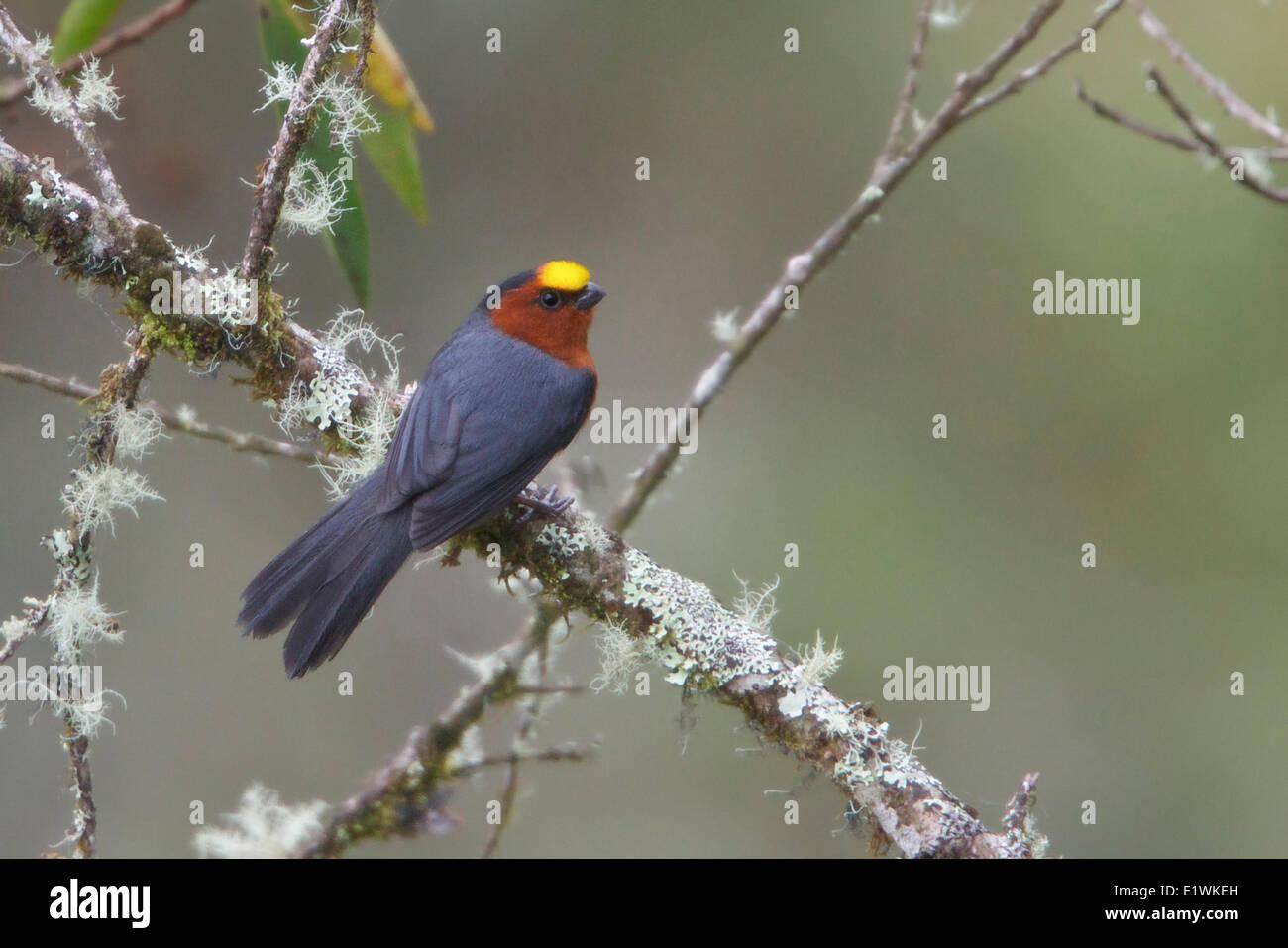 Plush-capped Finch (Catamblyrhynchus diadema) perché sur une branche en Bolivie, l'Amérique du Sud. Photo Stock